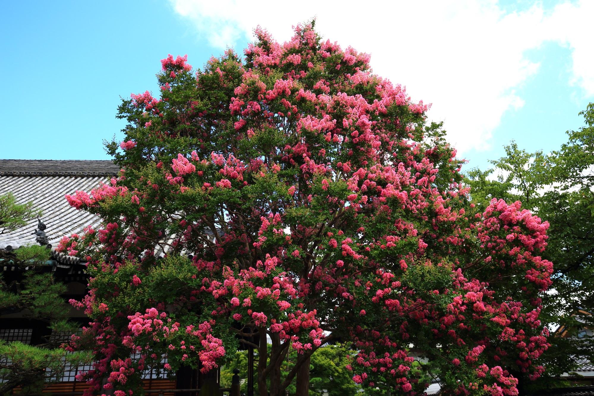 上の方までいっぱい花をつける百日紅の木
