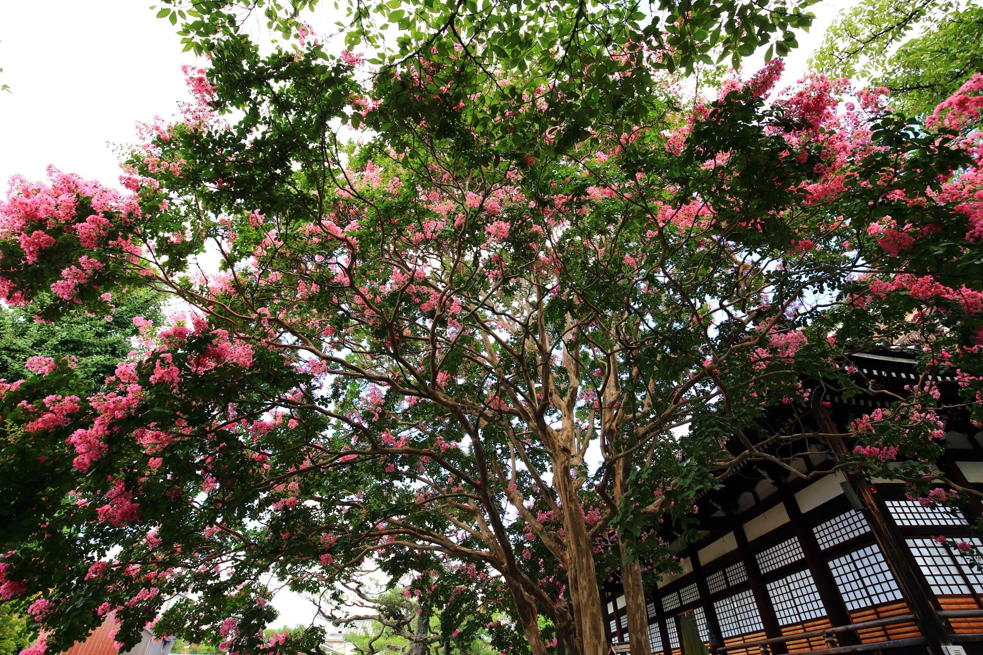 下から見上げれば空から降り注ぐピンクの花