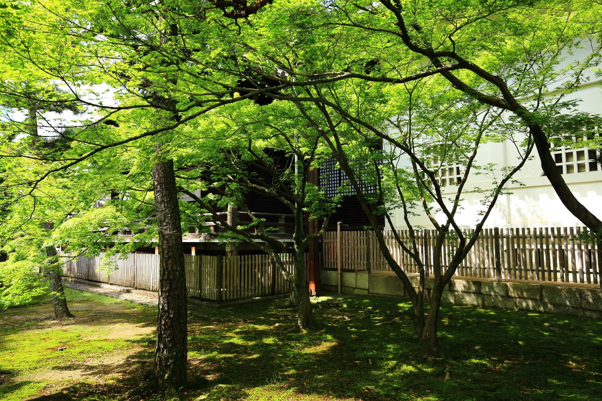 浄福寺の本堂横の青もみじ