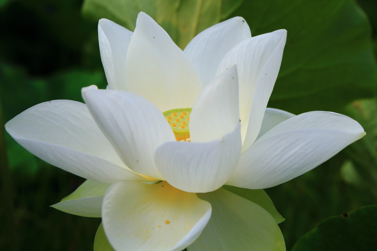 法金剛院の爽やかな純白の蓮の花