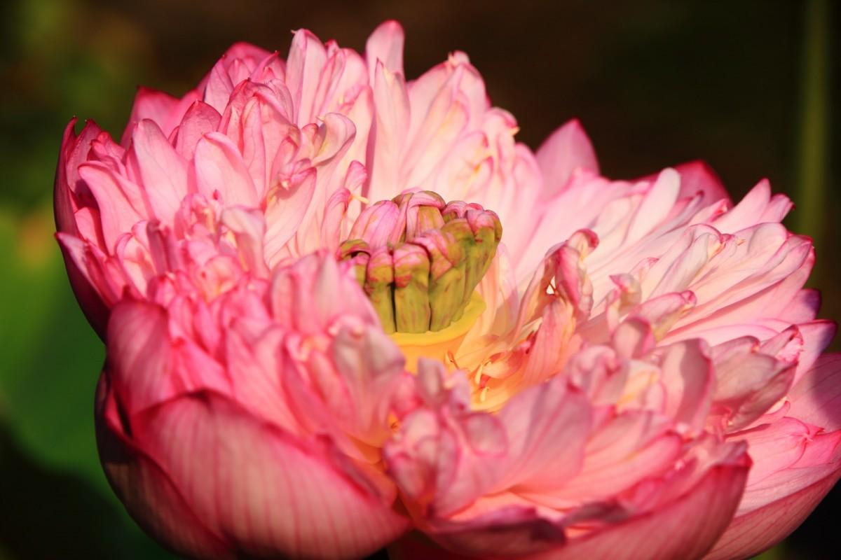 小さな花びらがびっしりと詰まっている蓮の花