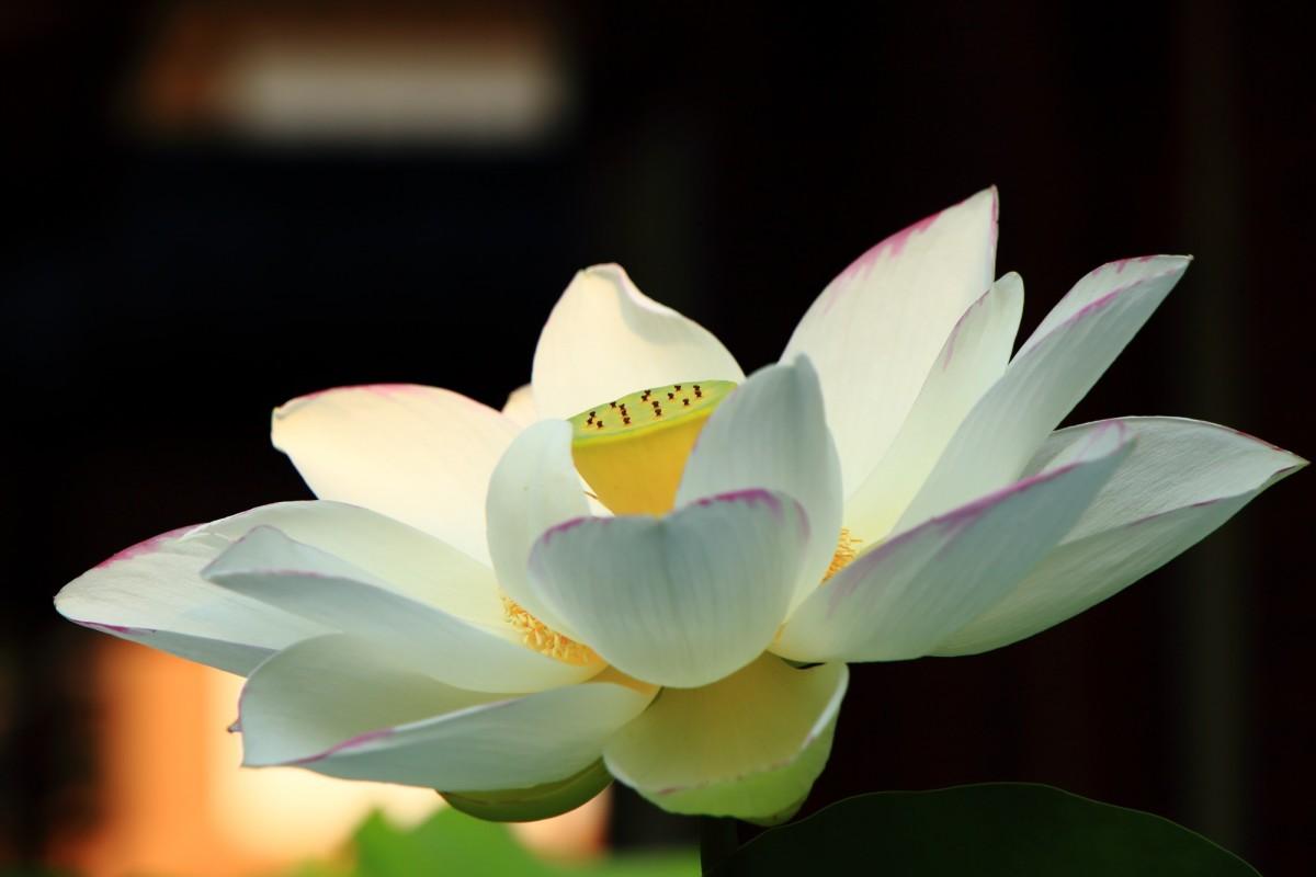 静かに華やぐ法金剛院の淡く白い蓮の花