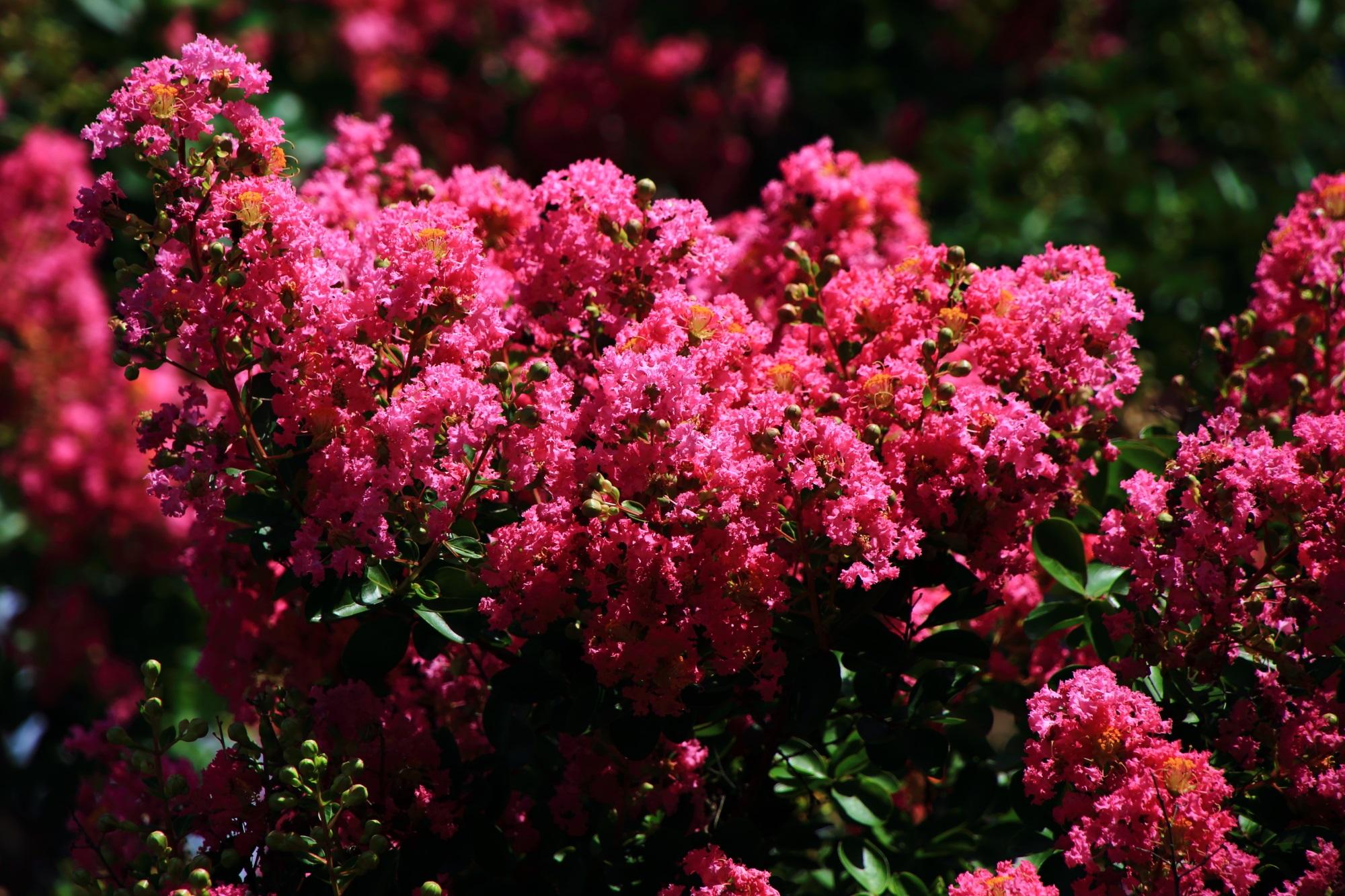 溢れる本隆寺の百日紅の鮮やかなピンクの花