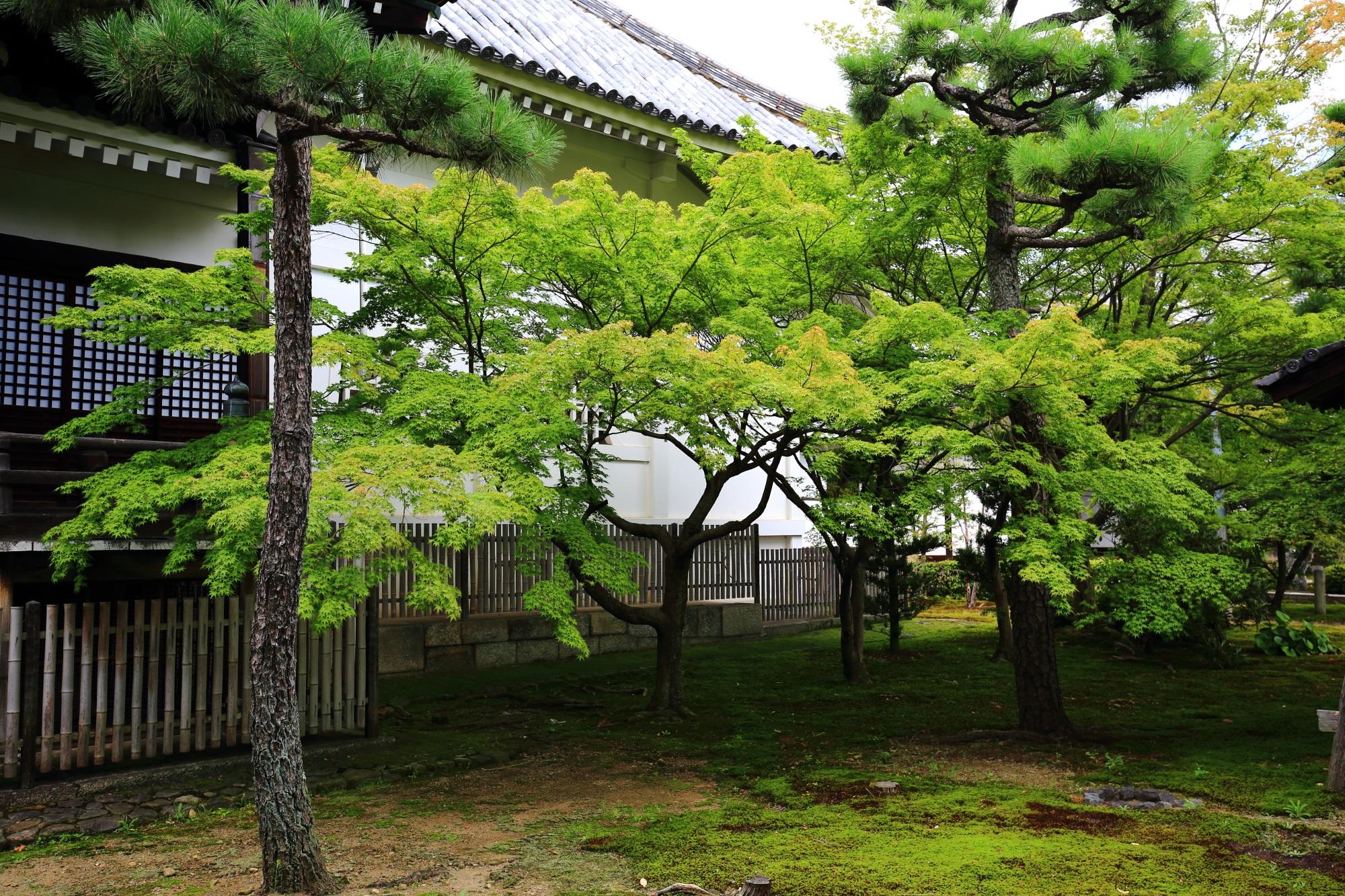 浄福寺の本堂横の青もみじ 2015年8月