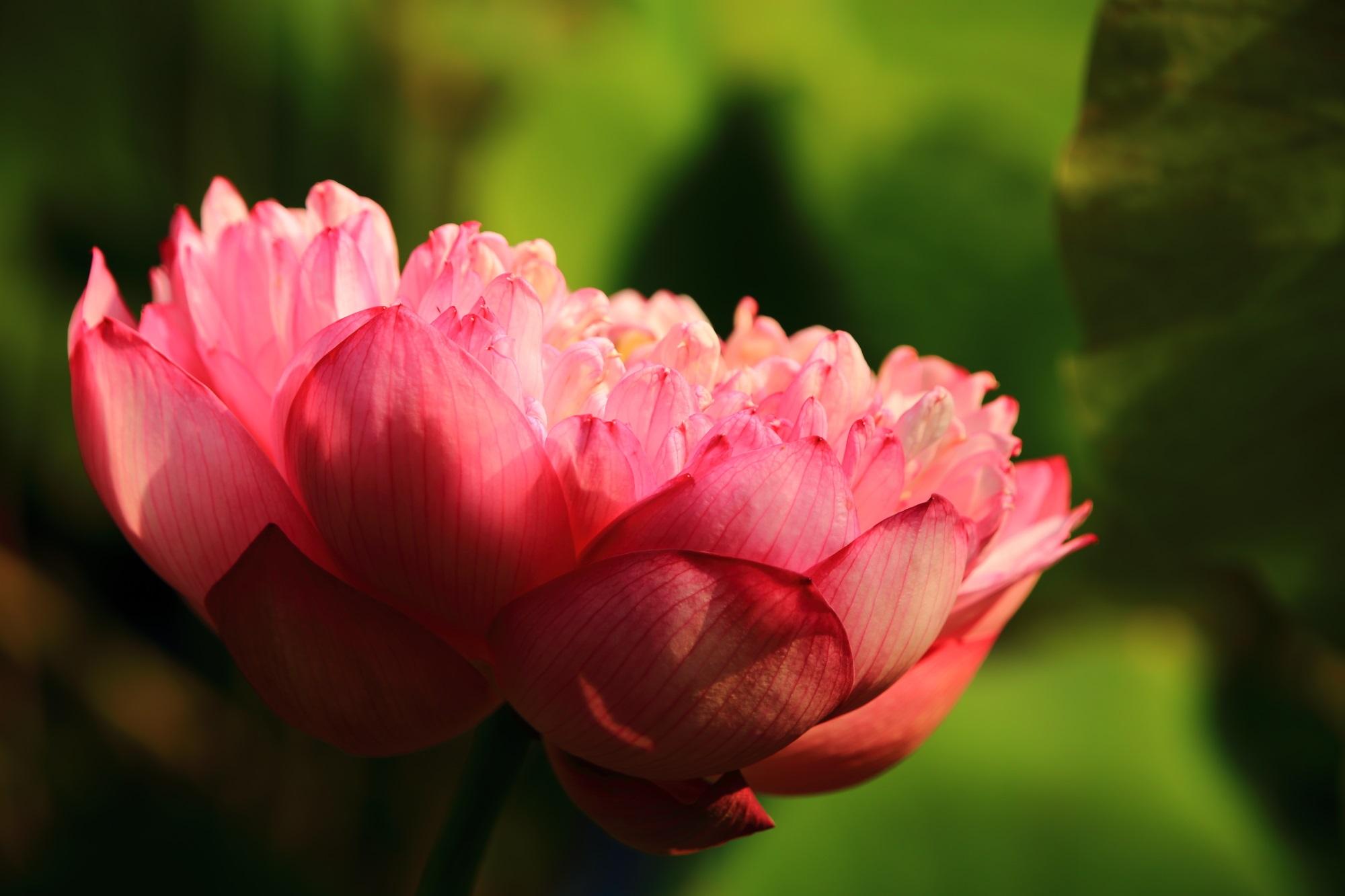 たくさんの可憐な花びらが溢れ出す法金剛院のハス