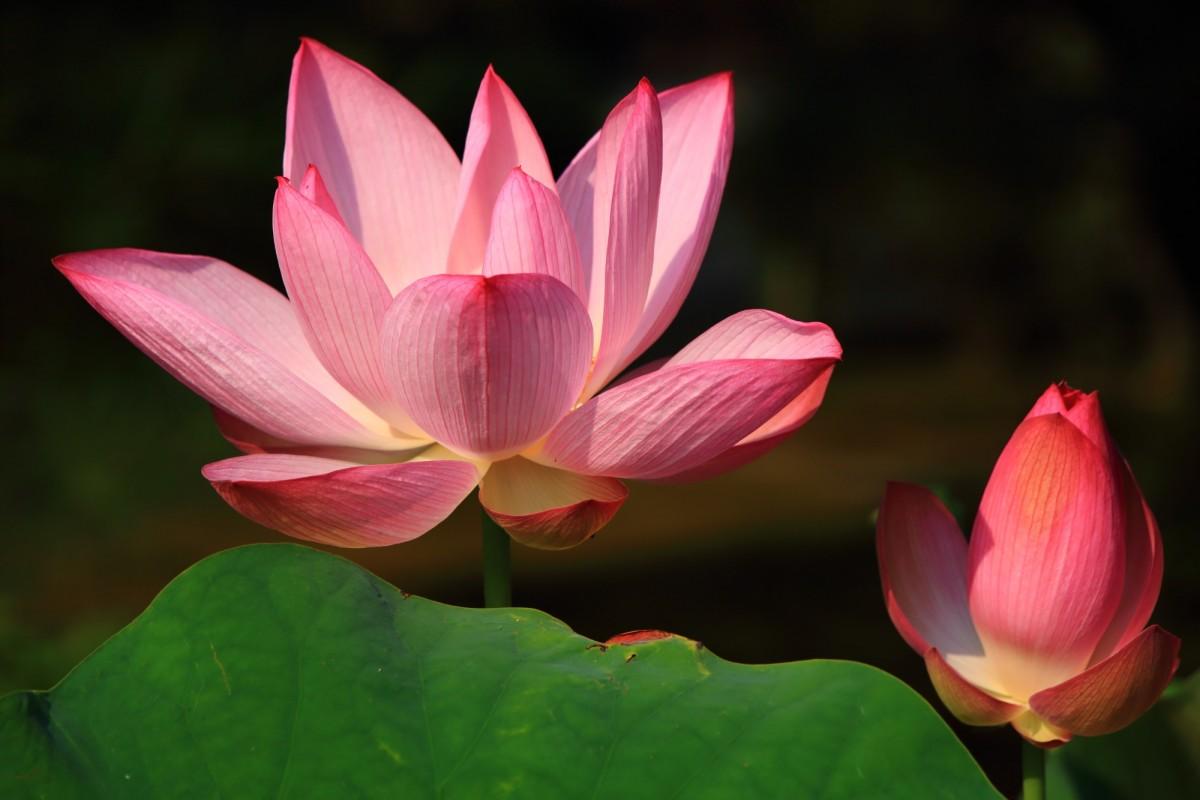 法金剛院の太陽を浴びて煌くピンクの蓮の花