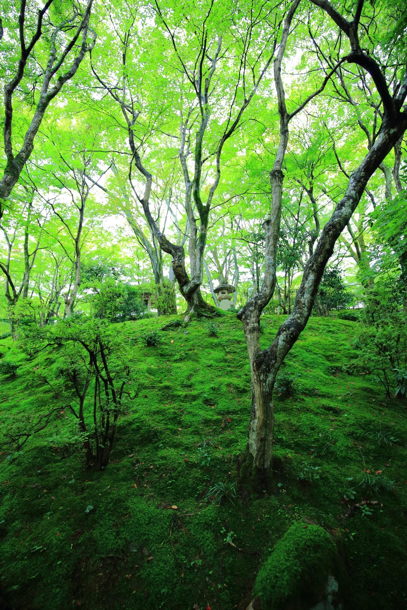女の碑から仁王門へ続く参道の苔と深い緑の青もみじ