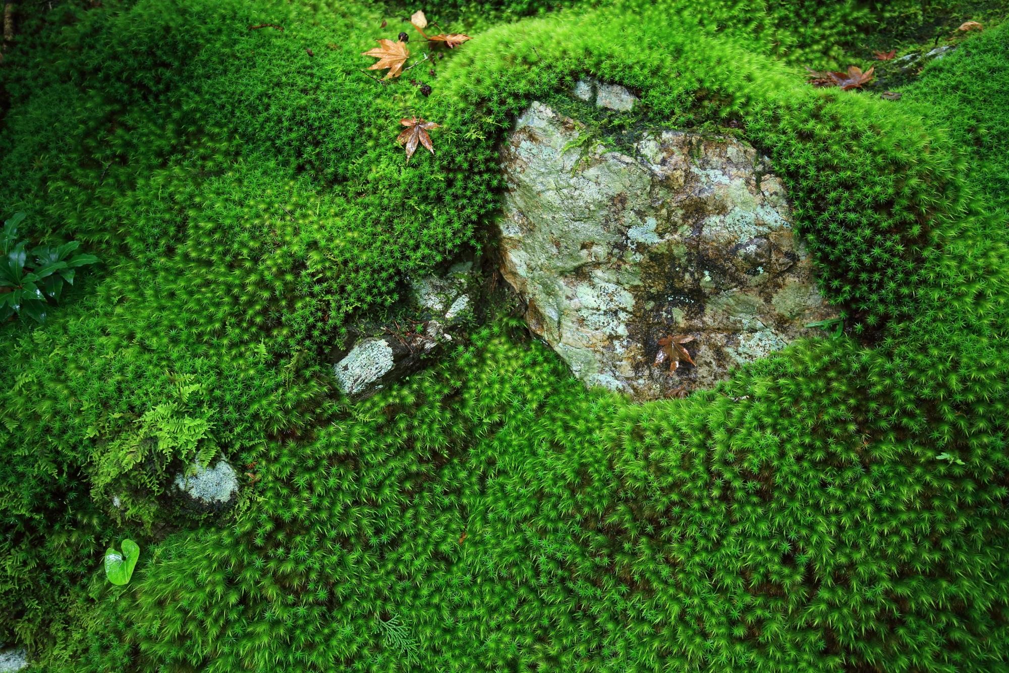 常寂光寺の本堂前石段付近の緑の苔