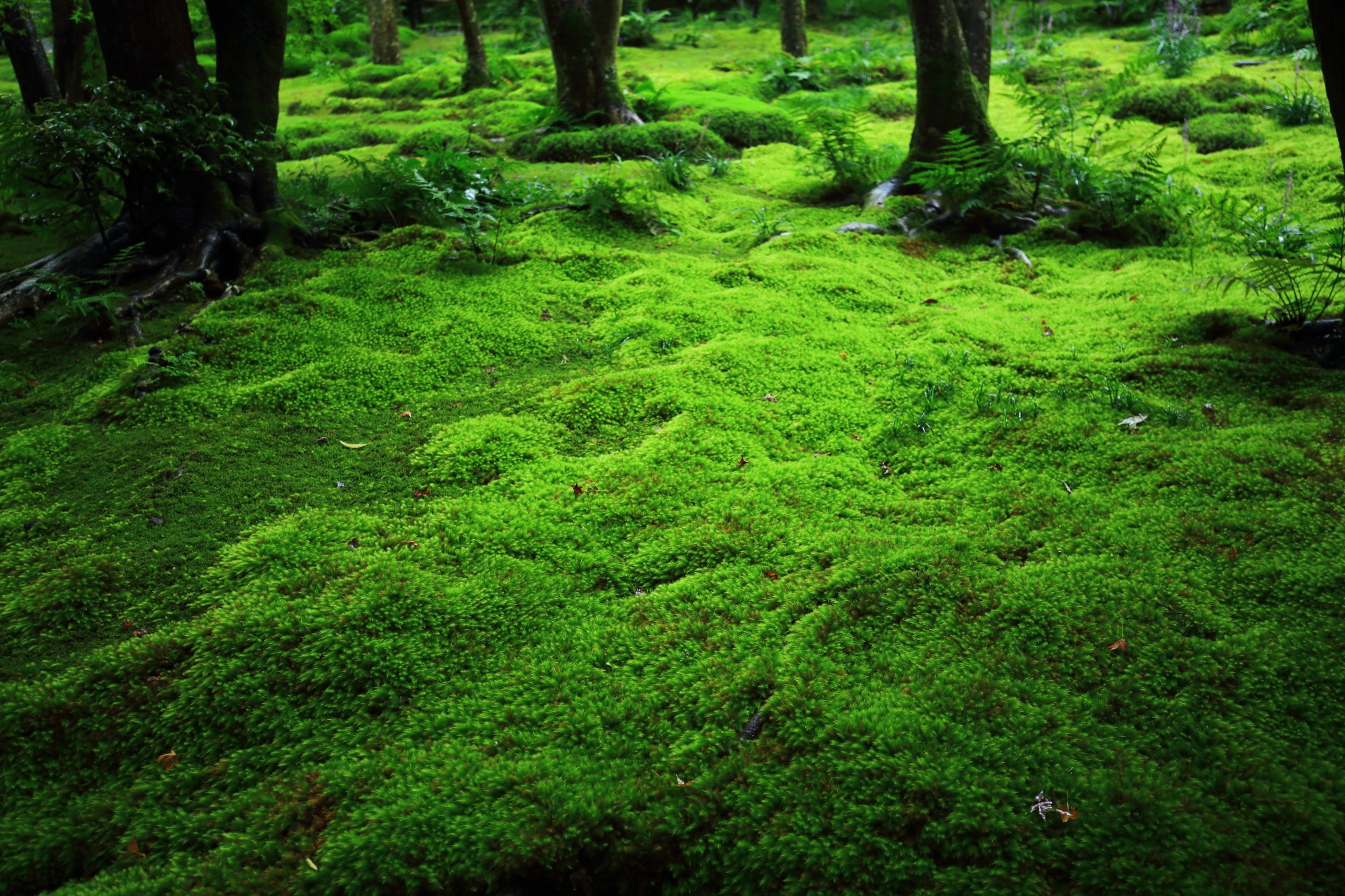 雨のおかげで生き生きと輝く祇王寺の苔