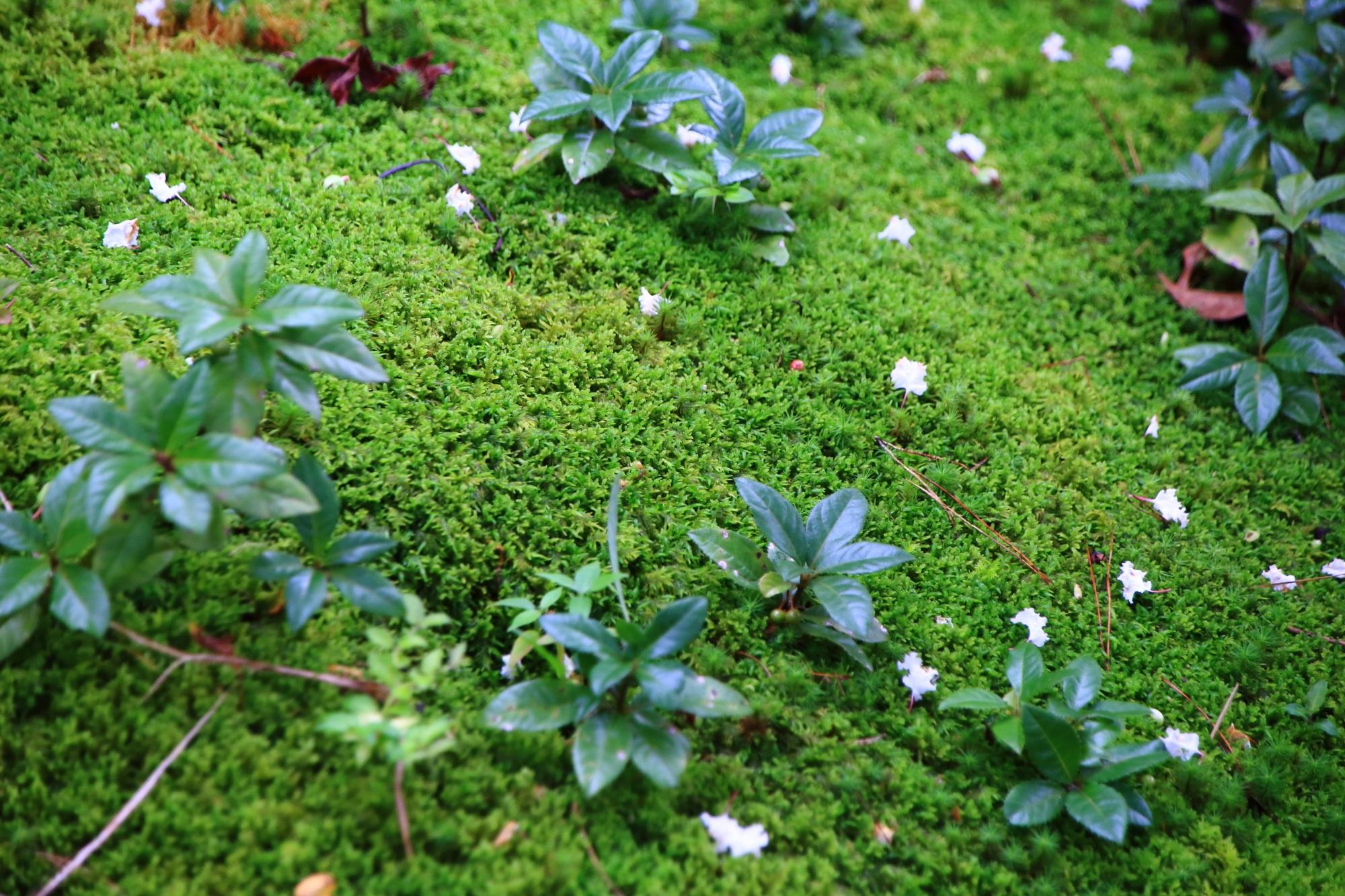 南禅寺大寧軒の苔と散ったサルスベリの花