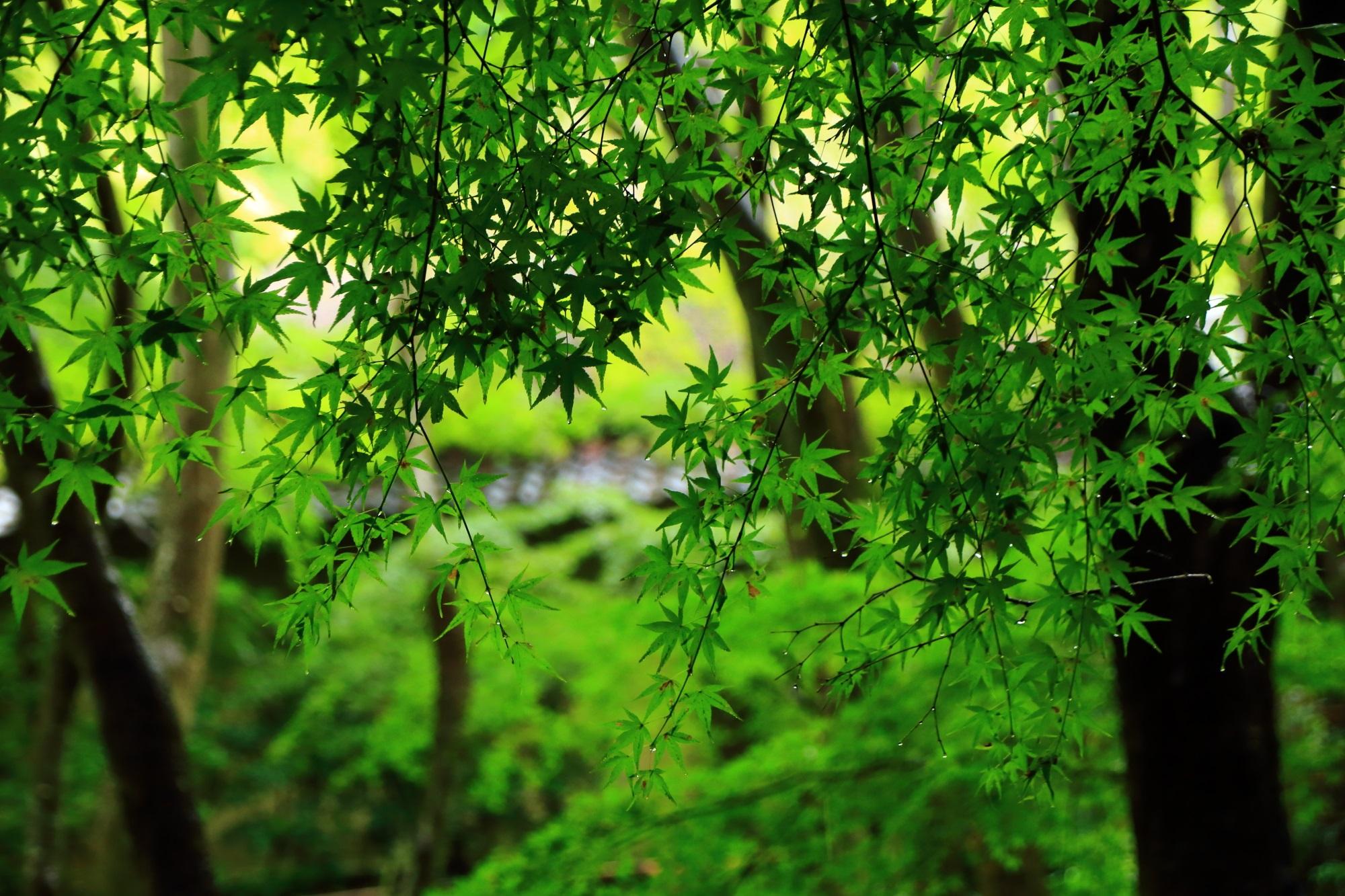 苔庭の美しい青もみじ