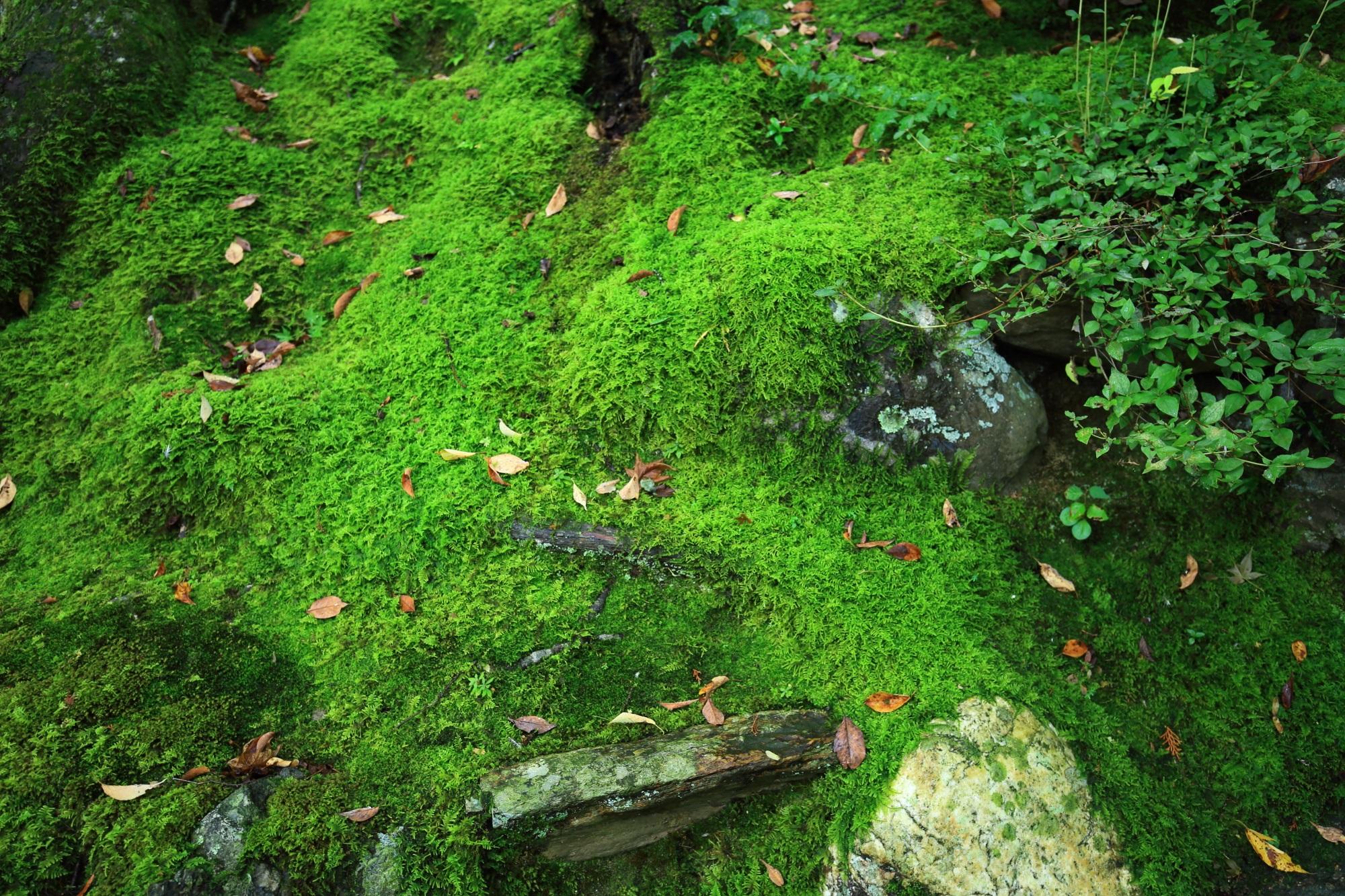 本堂前石段付近の優美な苔