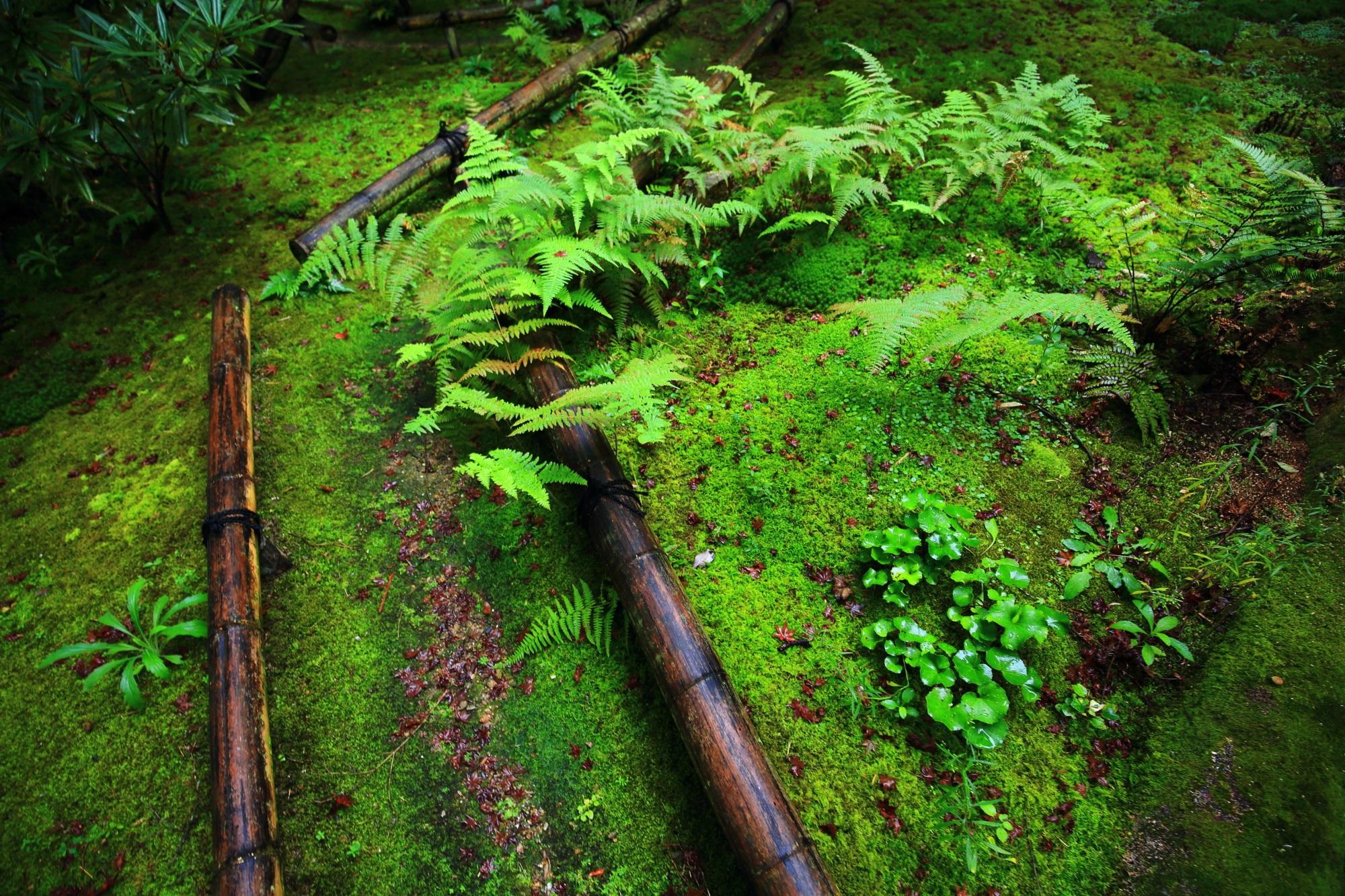 直指庵の苔庭の苔とシダ
