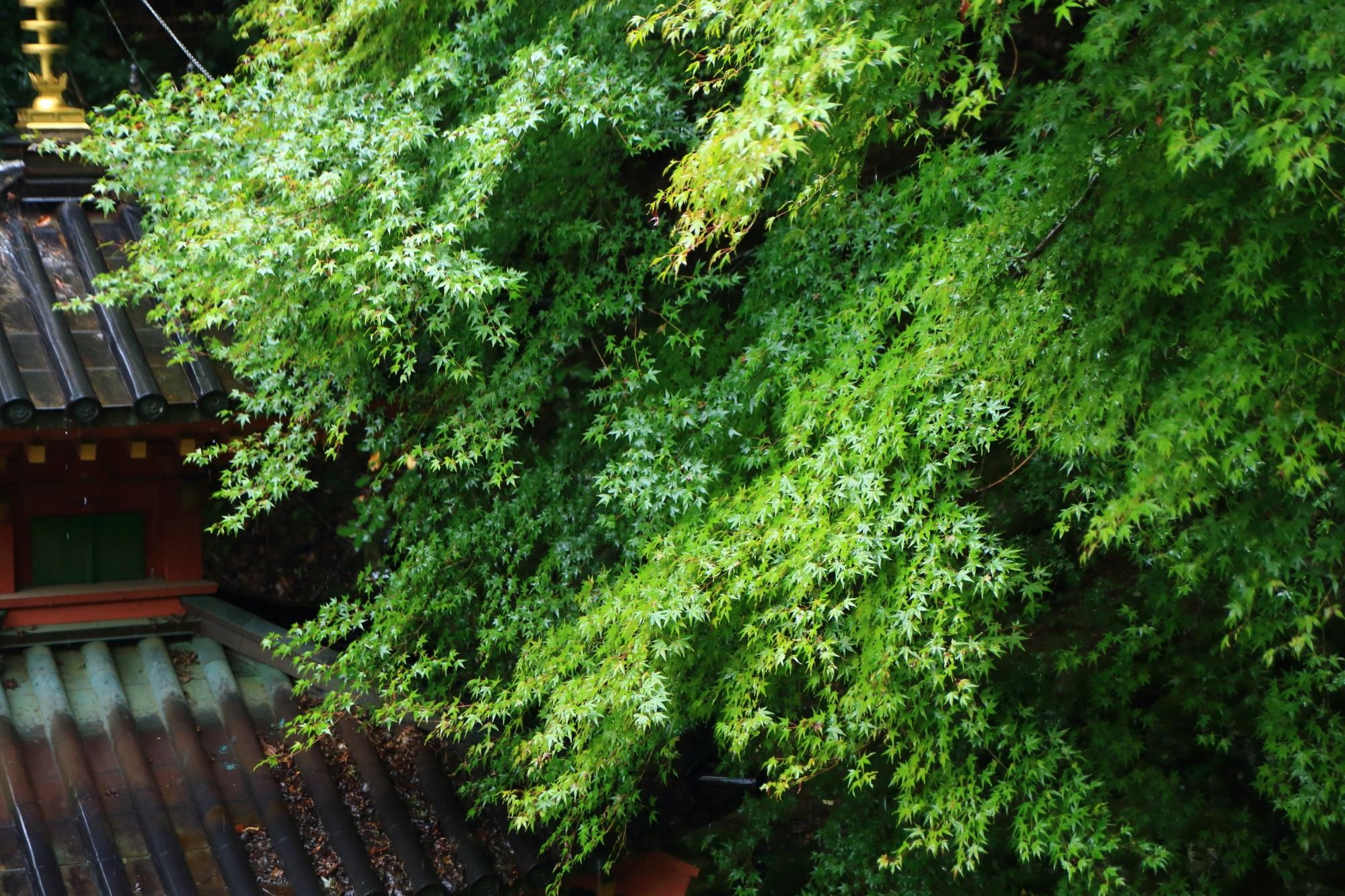 愛宕念仏寺の多宝塔と雨に濡れた青もみじ