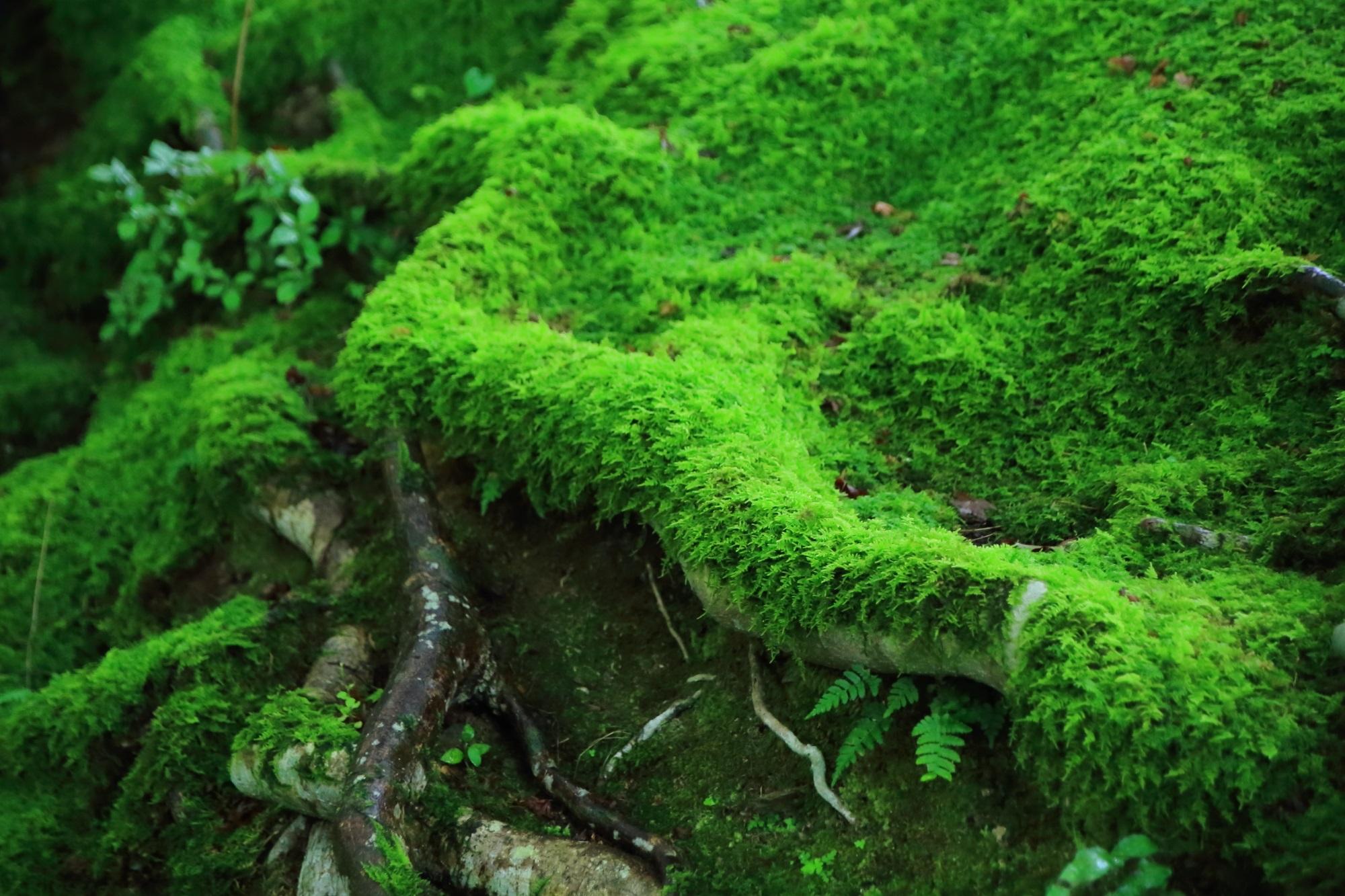 奥嵯峨常寂光寺の仁王門付近の緑の苔