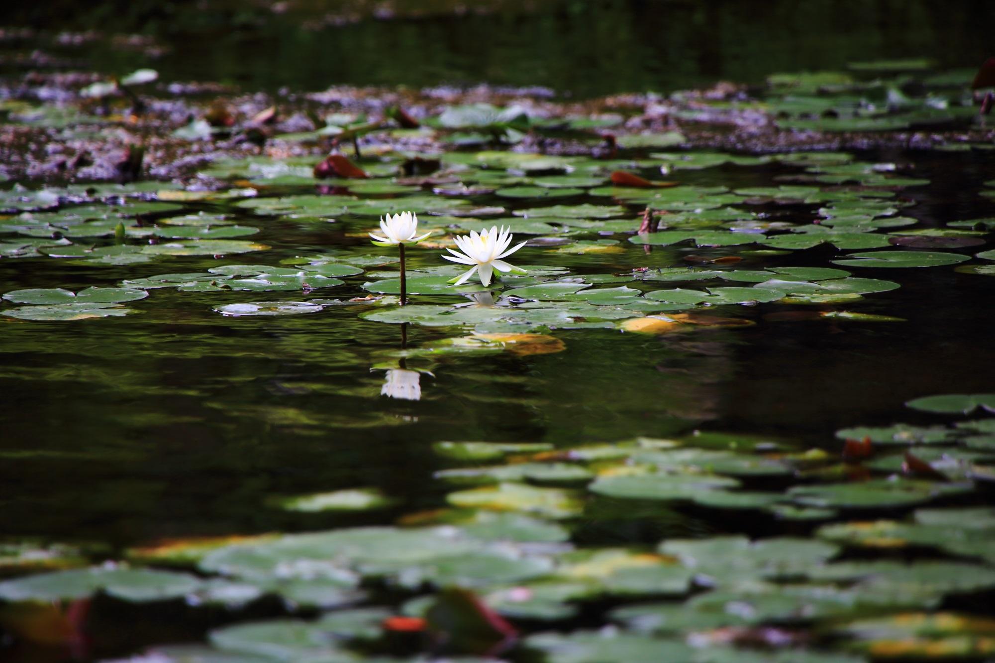 南禅寺大寧軒の池と睡蓮