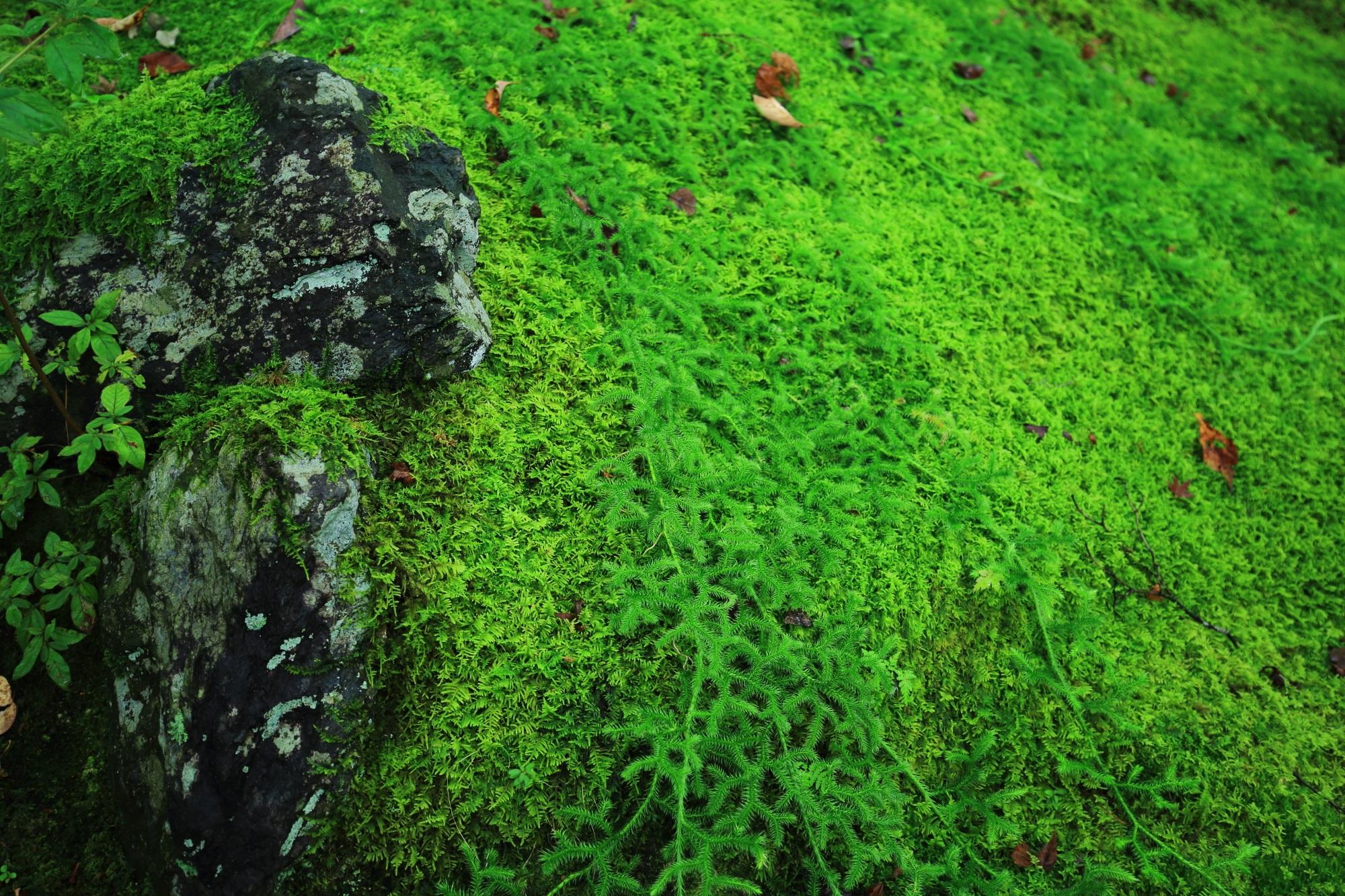 本堂前石段付近の潤った苔