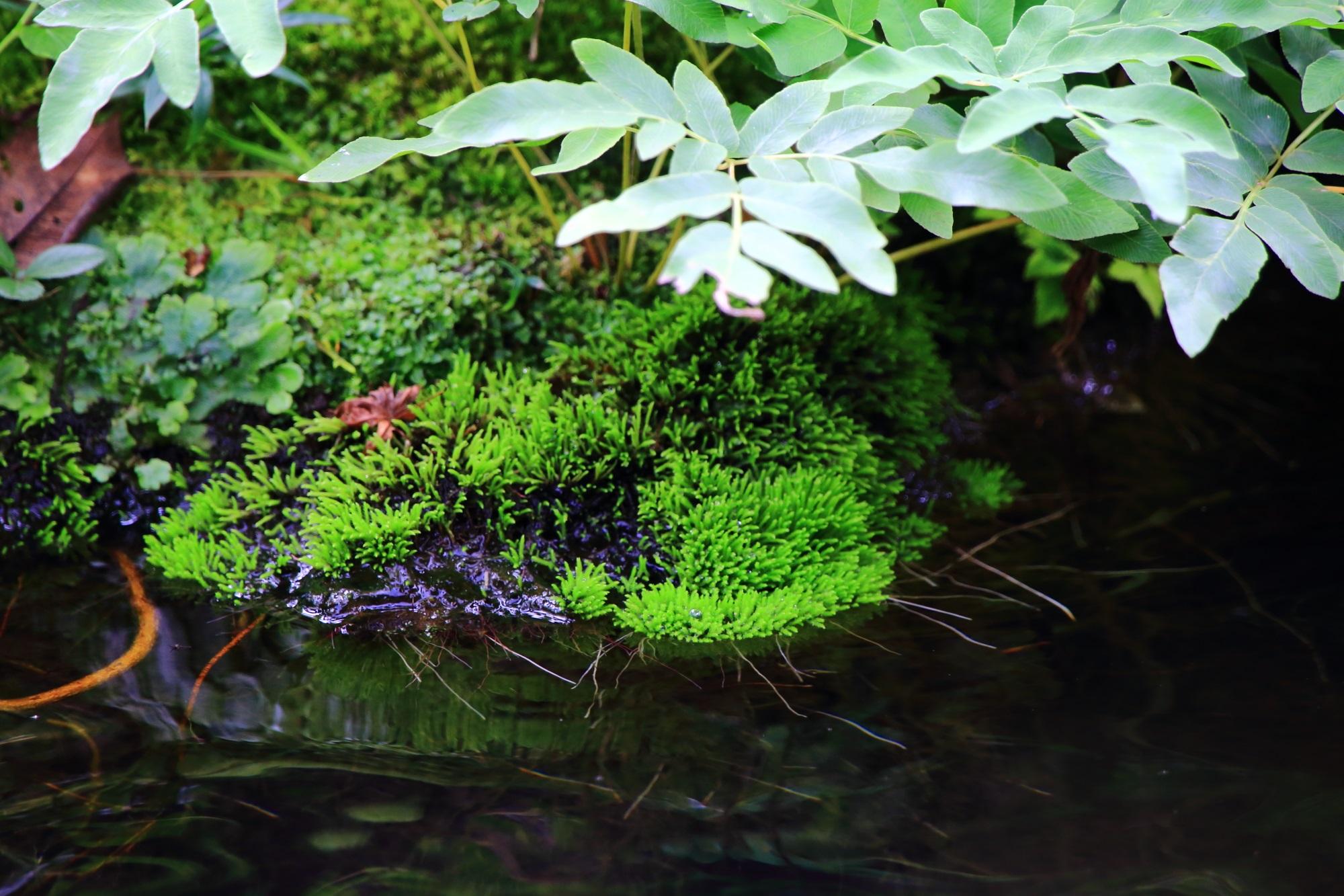 南禅寺大寧軒の池と苔 9月10日