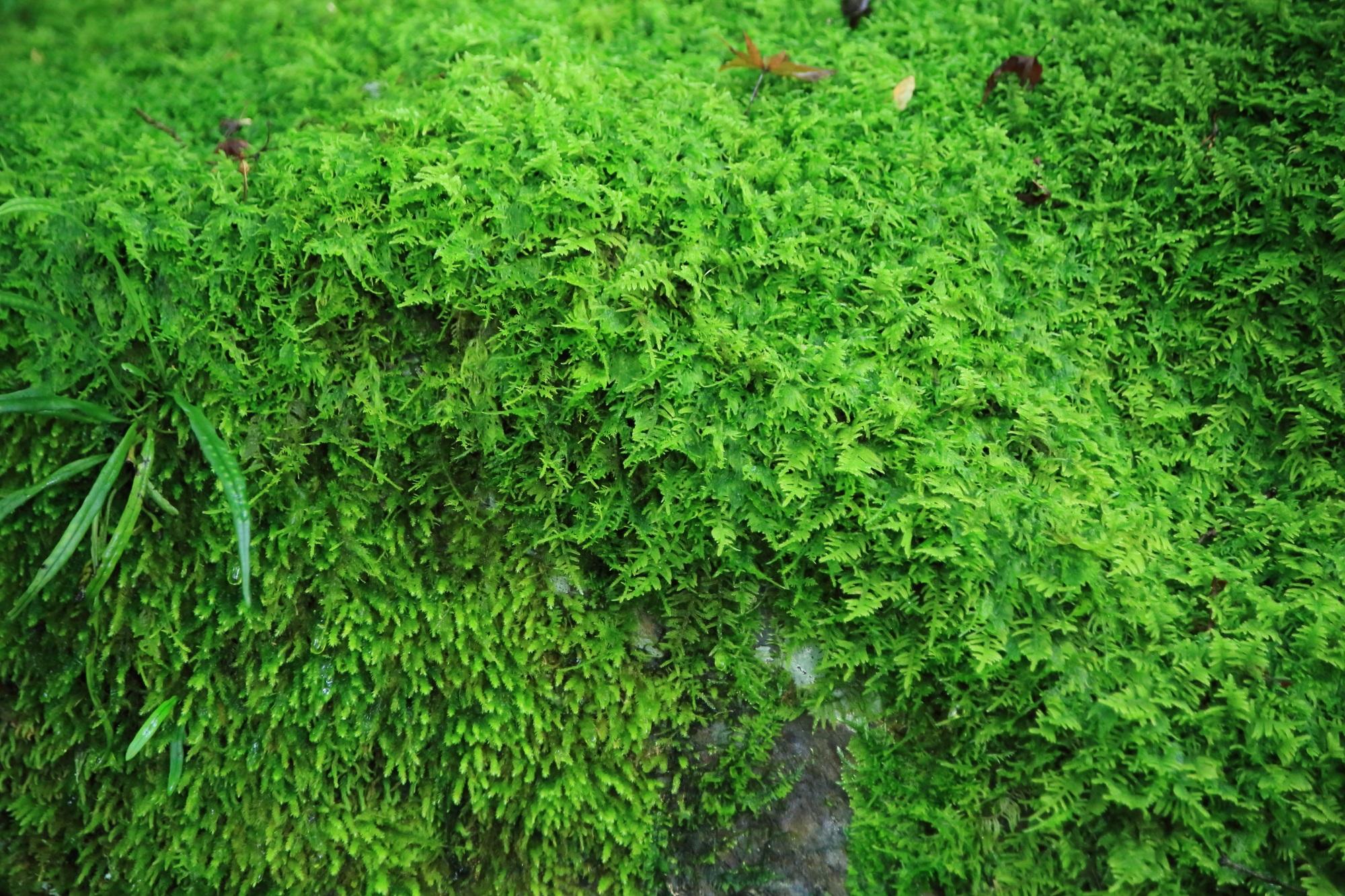 石段付近の癒しの苔