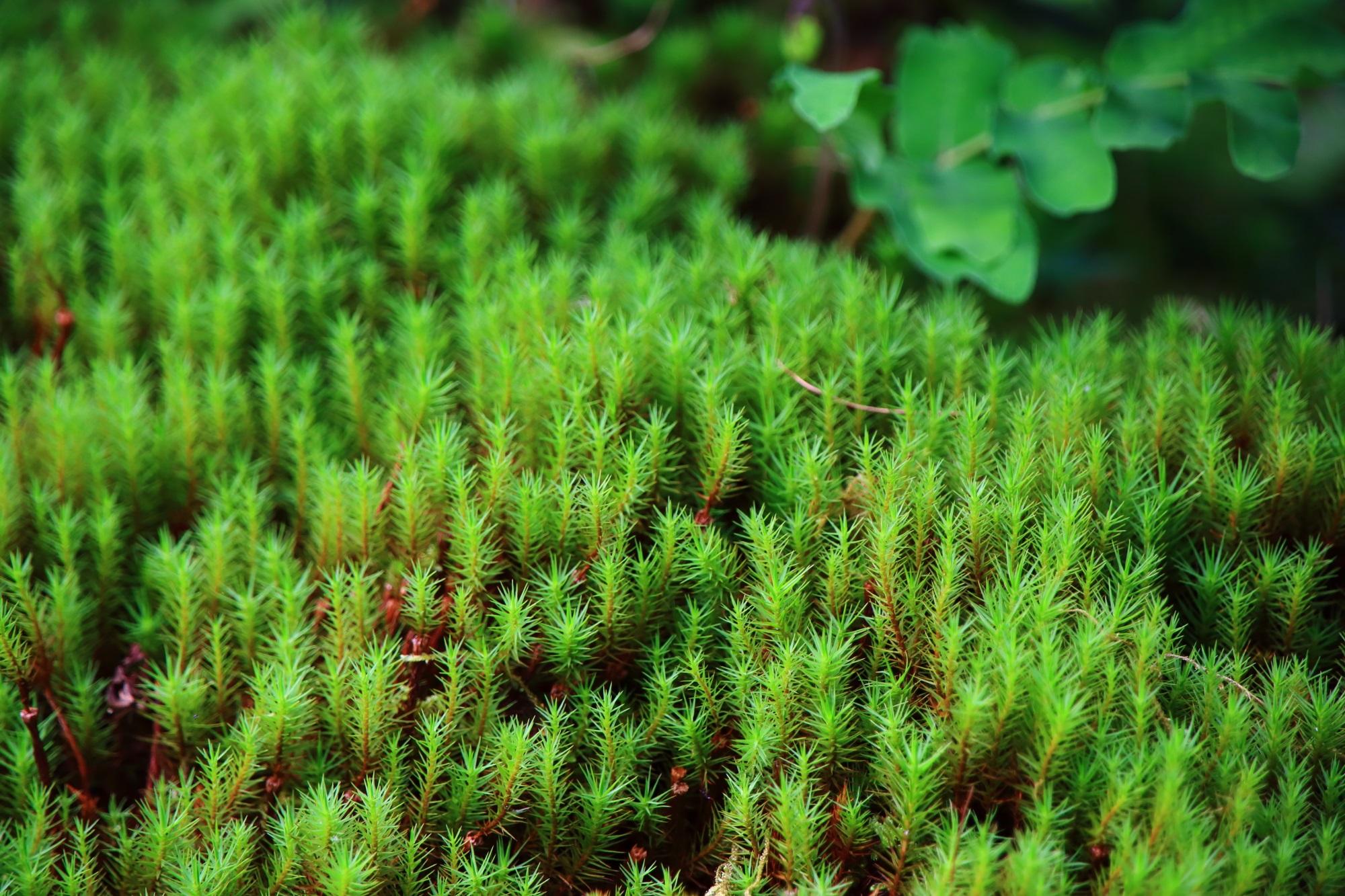 南禅寺大寧軒の美しい緑の苔 2015年9月