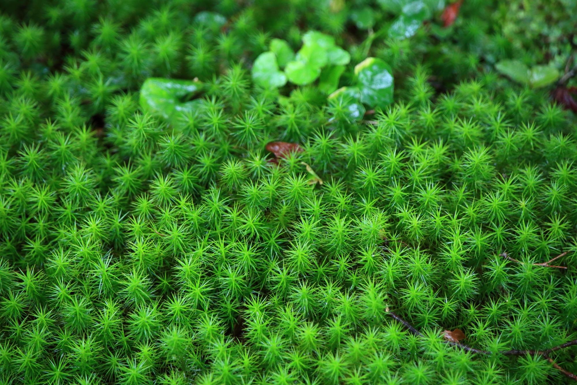 本堂前の緑の苔