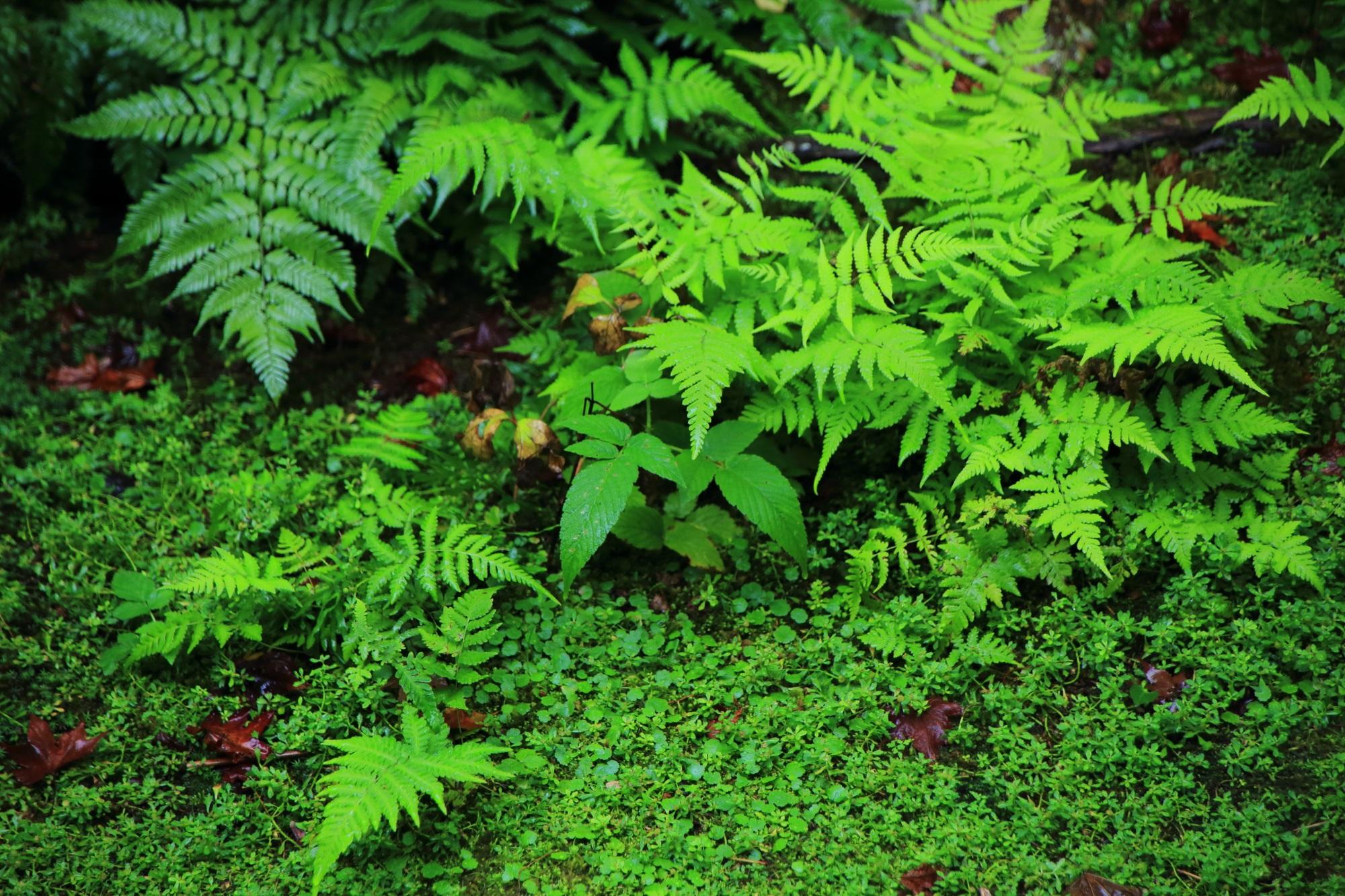 本堂中庭の緑の苔とシダ