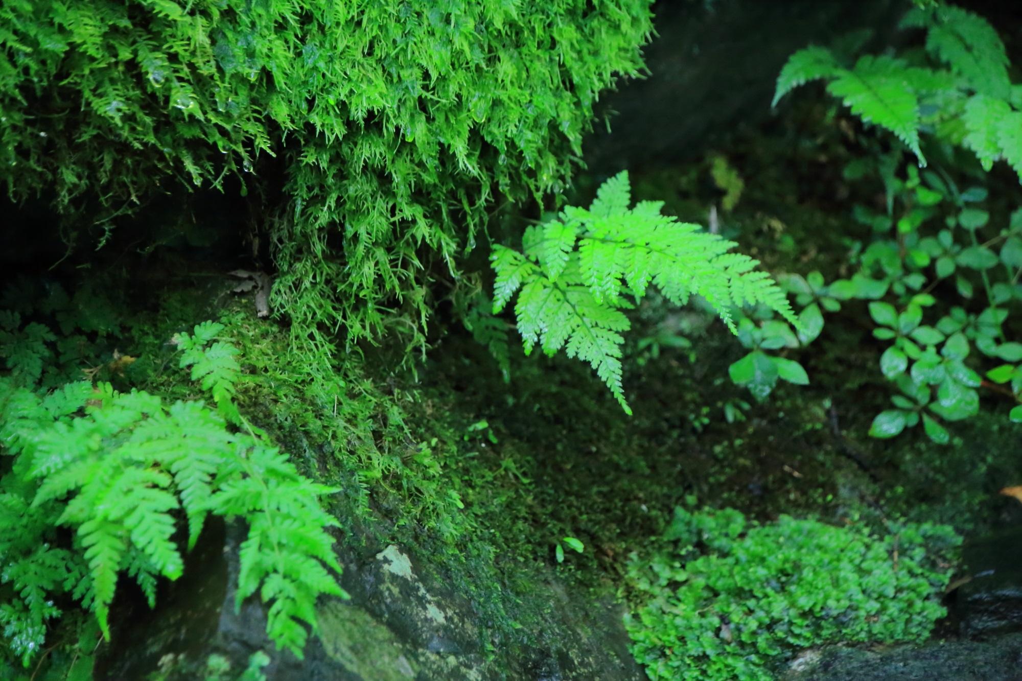 末吉坂の苔とシダ