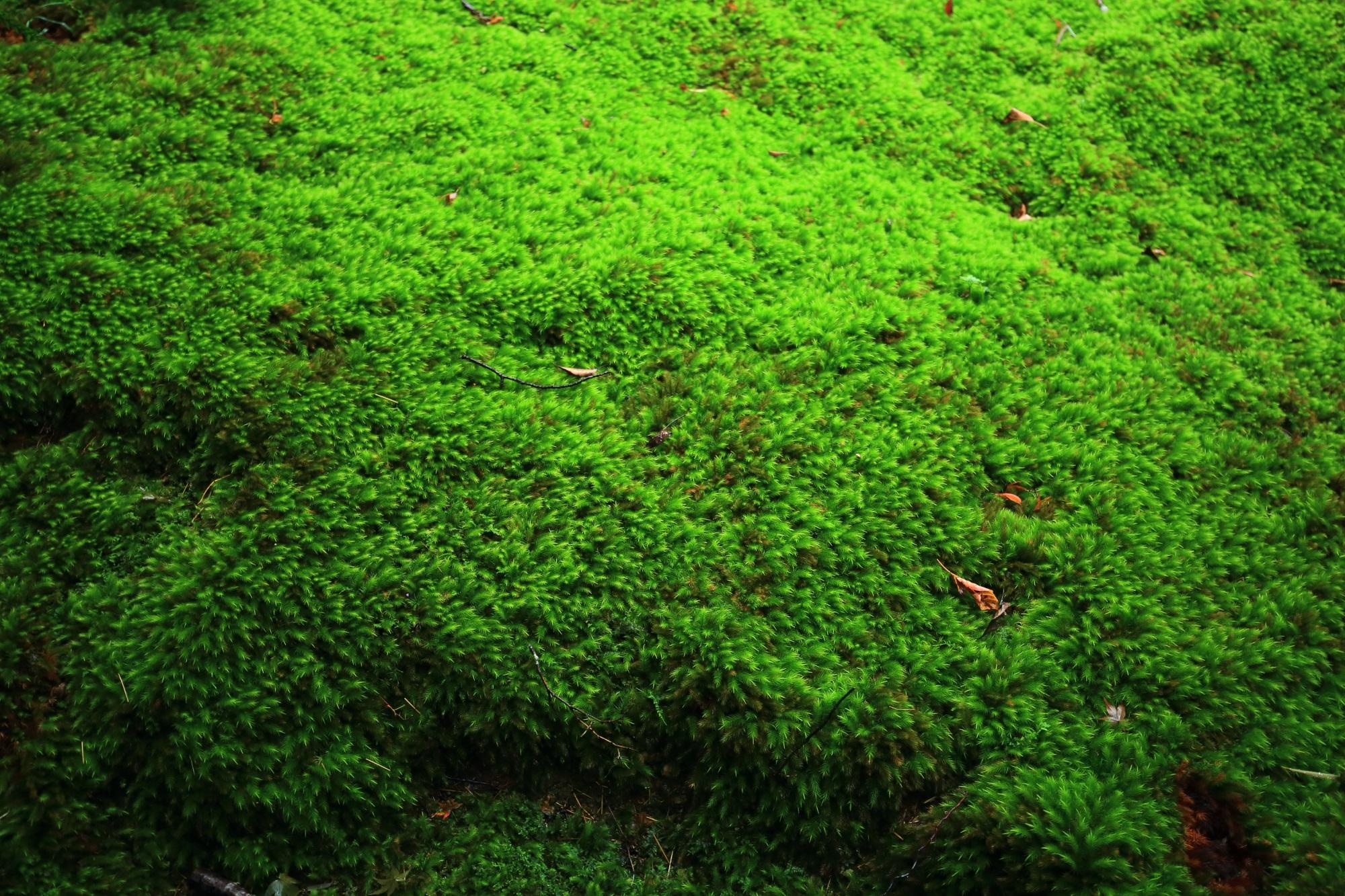 寝転びたくなる極上の苔の絨毯