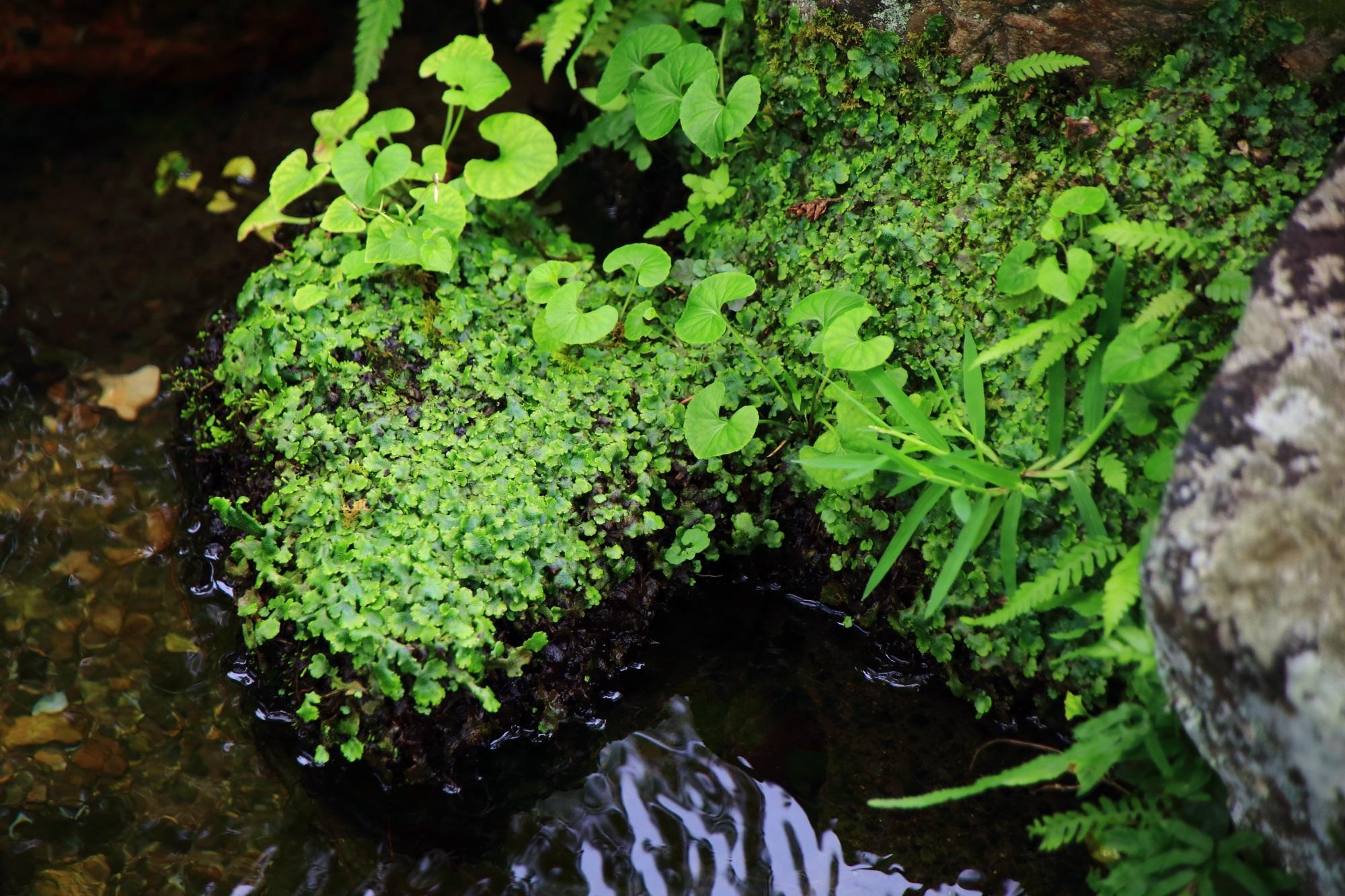 南禅寺大寧軒の池と美しい緑