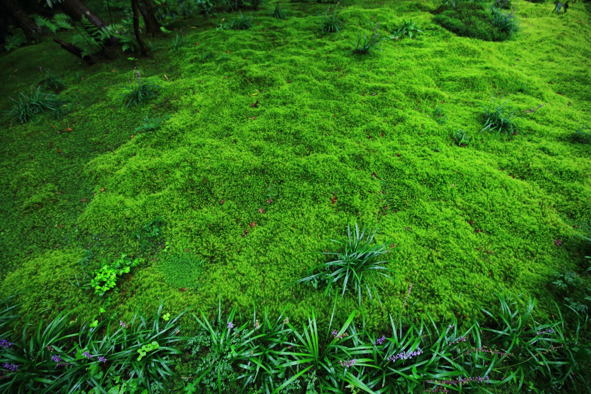 京都奥嵯峨の苔の名所の祇王寺