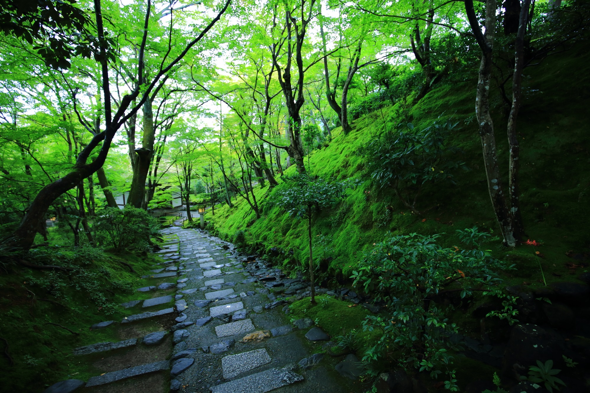 京都常寂光寺の末吉坂の絶品の苔