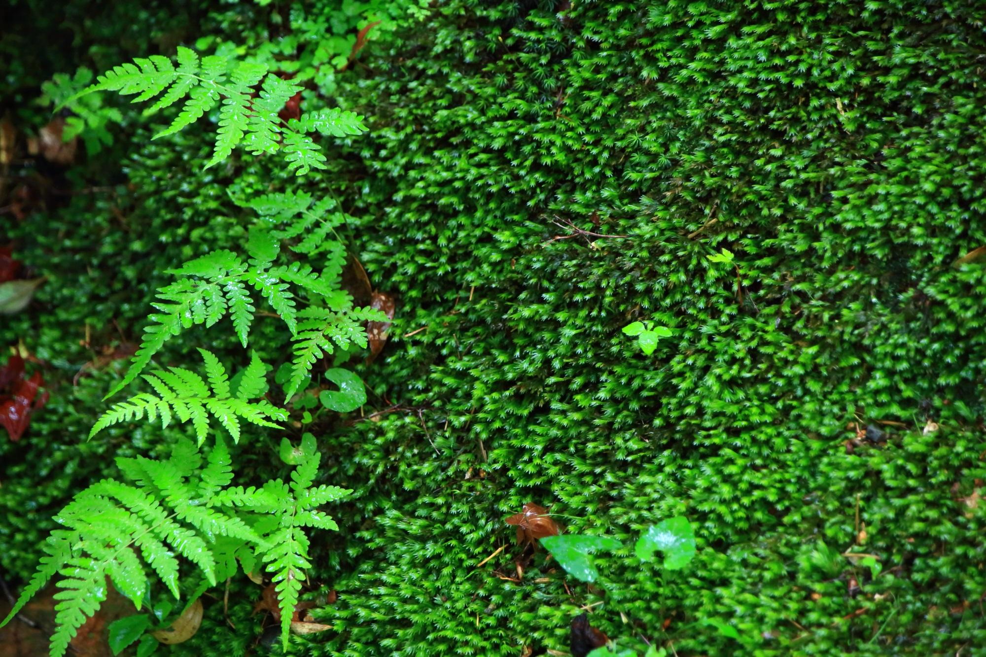 本堂前の苔とシダ