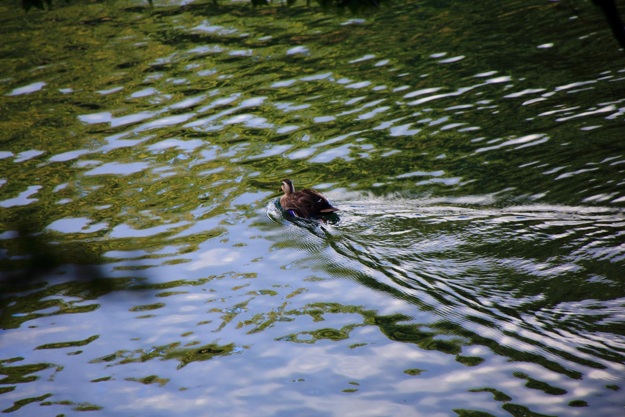 嵐山の保津川(桂川)の鴨 2015年10月6日