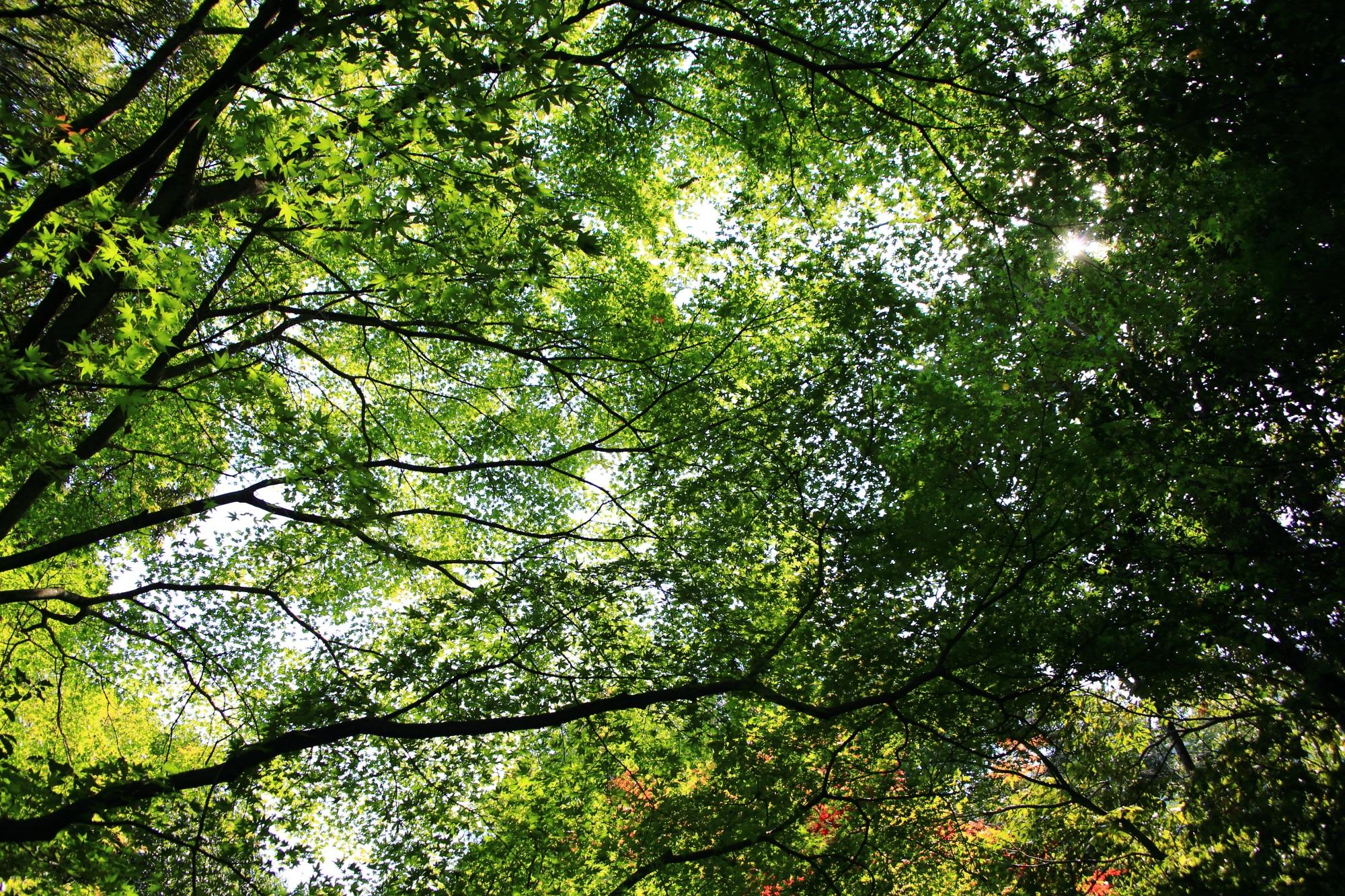 嵐山公園 亀山地区の青もみじ
