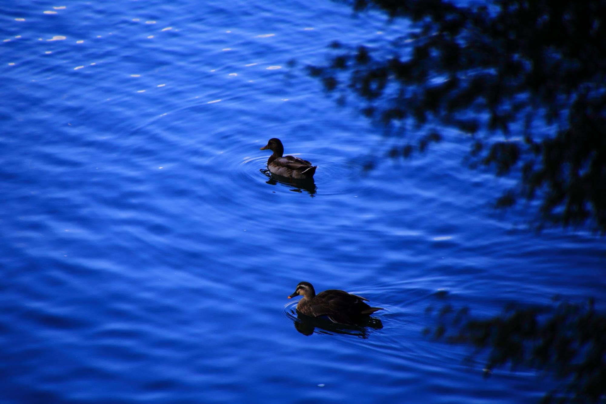 嵐山の保津川(桂川)の鴨