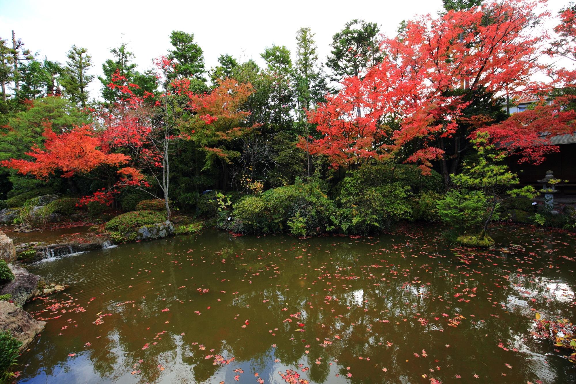 退蔵院の余香苑の緑と水を華やぐ鮮やかな紅葉と散りもみじ