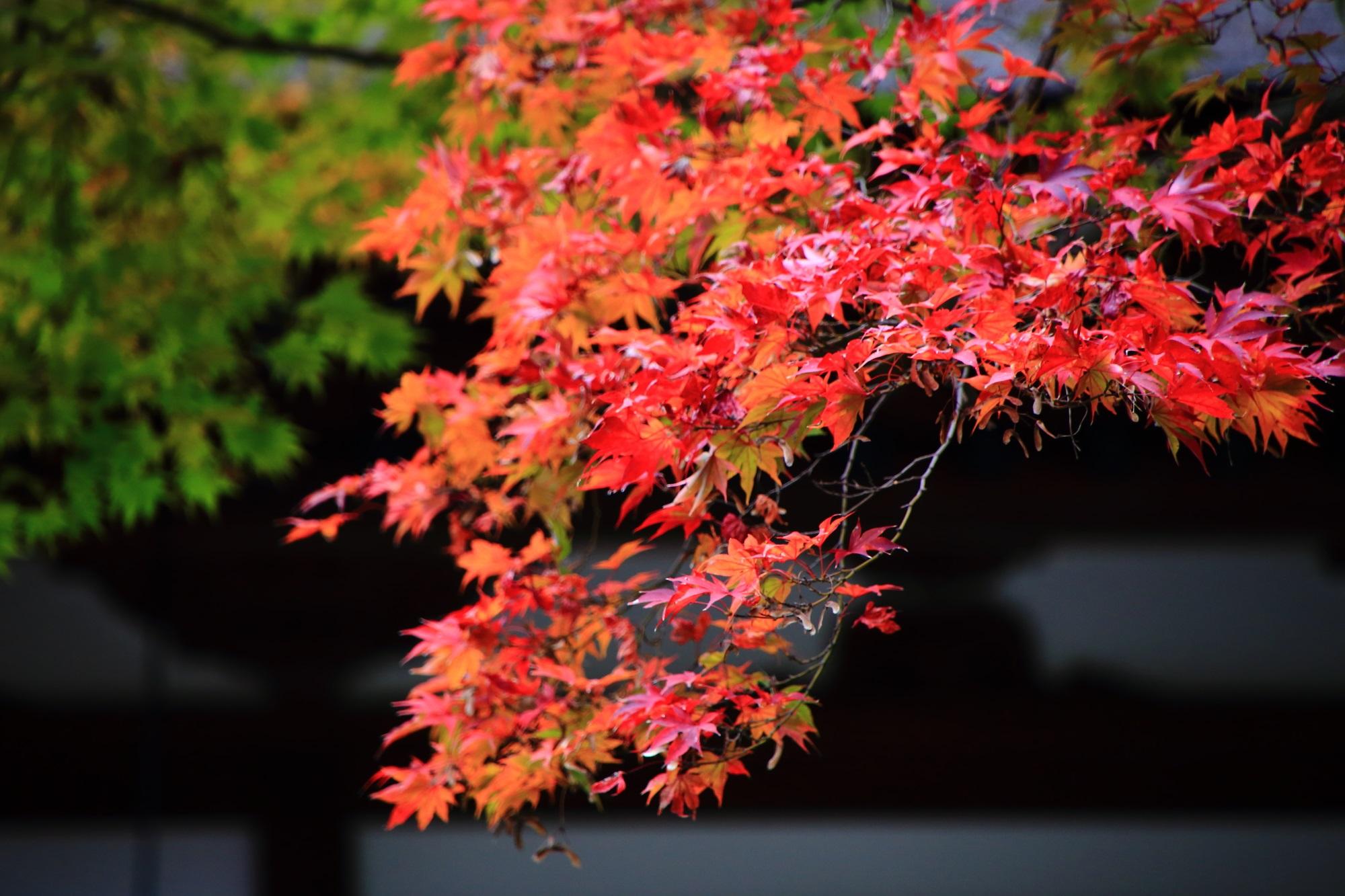 淡い光を浴びてほんのりと輝くような紅葉