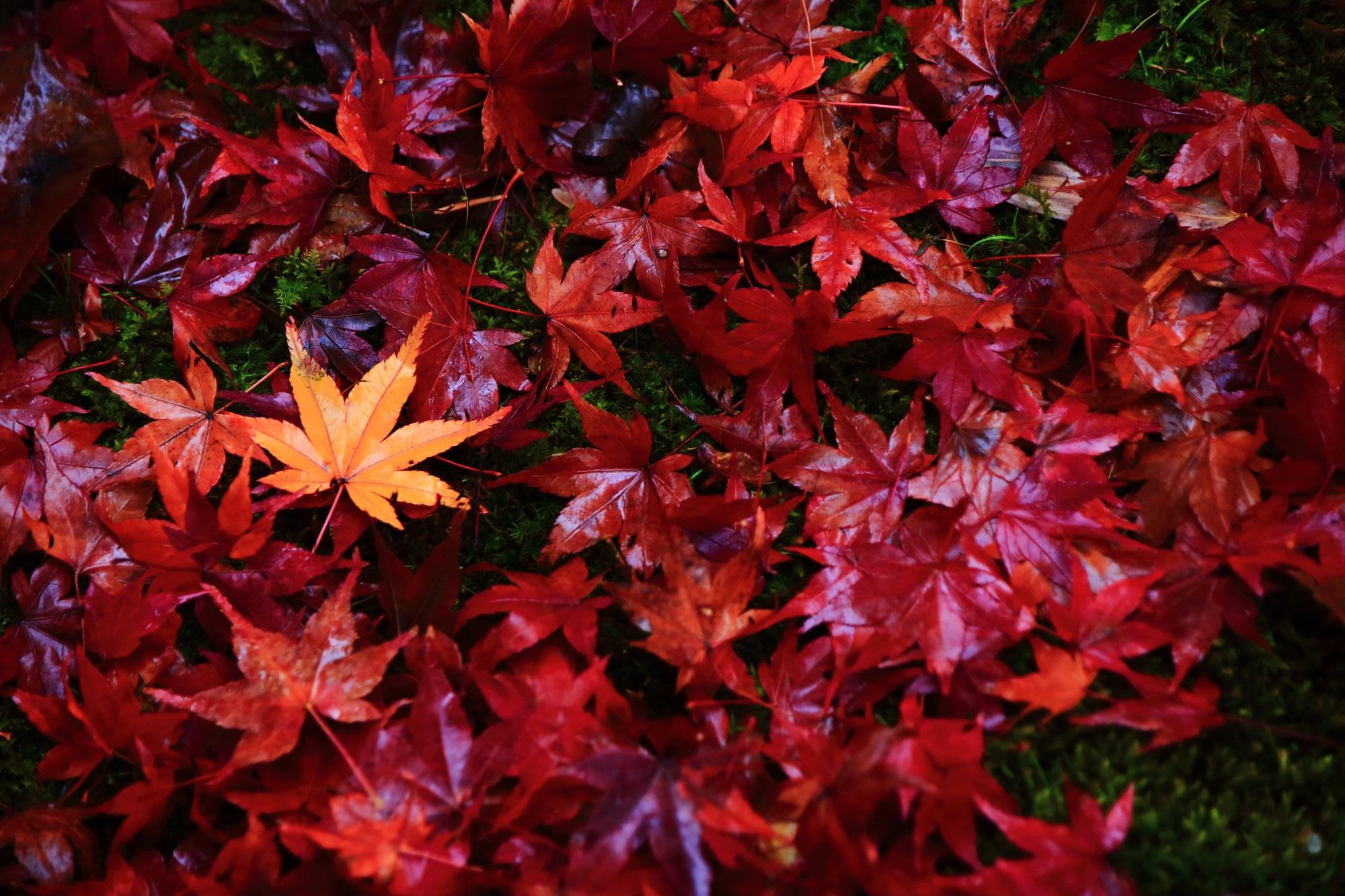 直指庵の雨に濡れた美しい散り紅葉