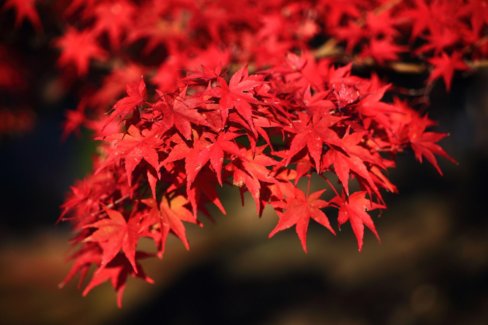 智積院の鮮やかに色づいた見事な紅葉