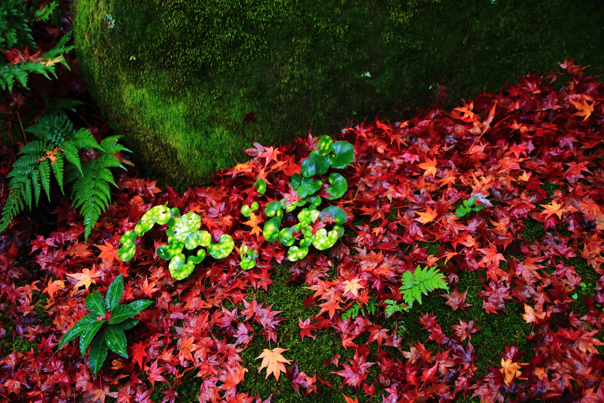 じきしあんの緑の苔と優美な散りもみじ