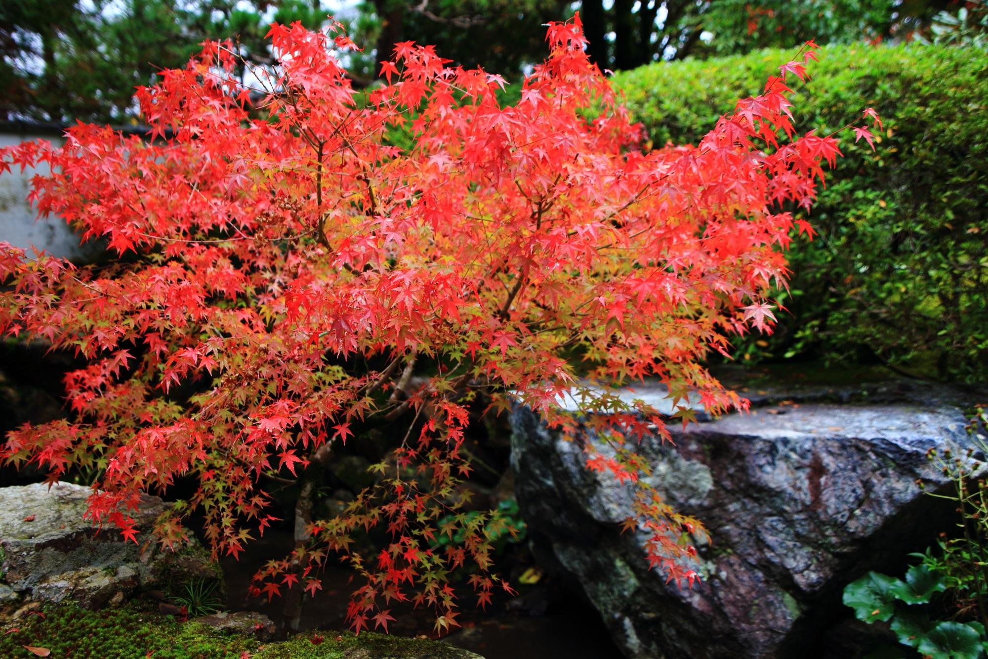 鮮やかな朱色の紅葉が華やぐ南禅寺塔頭の天授庵の書院南庭の奥の方