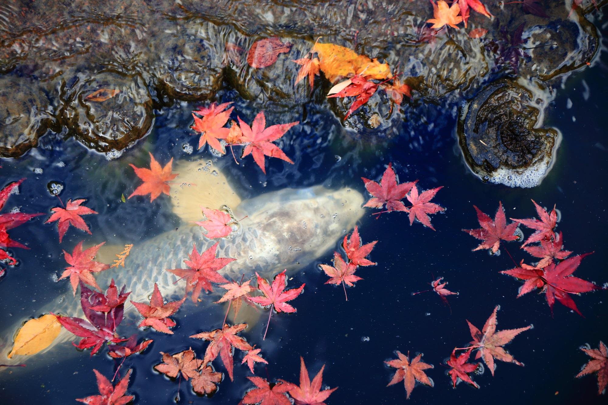 余香苑の紅葉狩りを楽しむ鯉