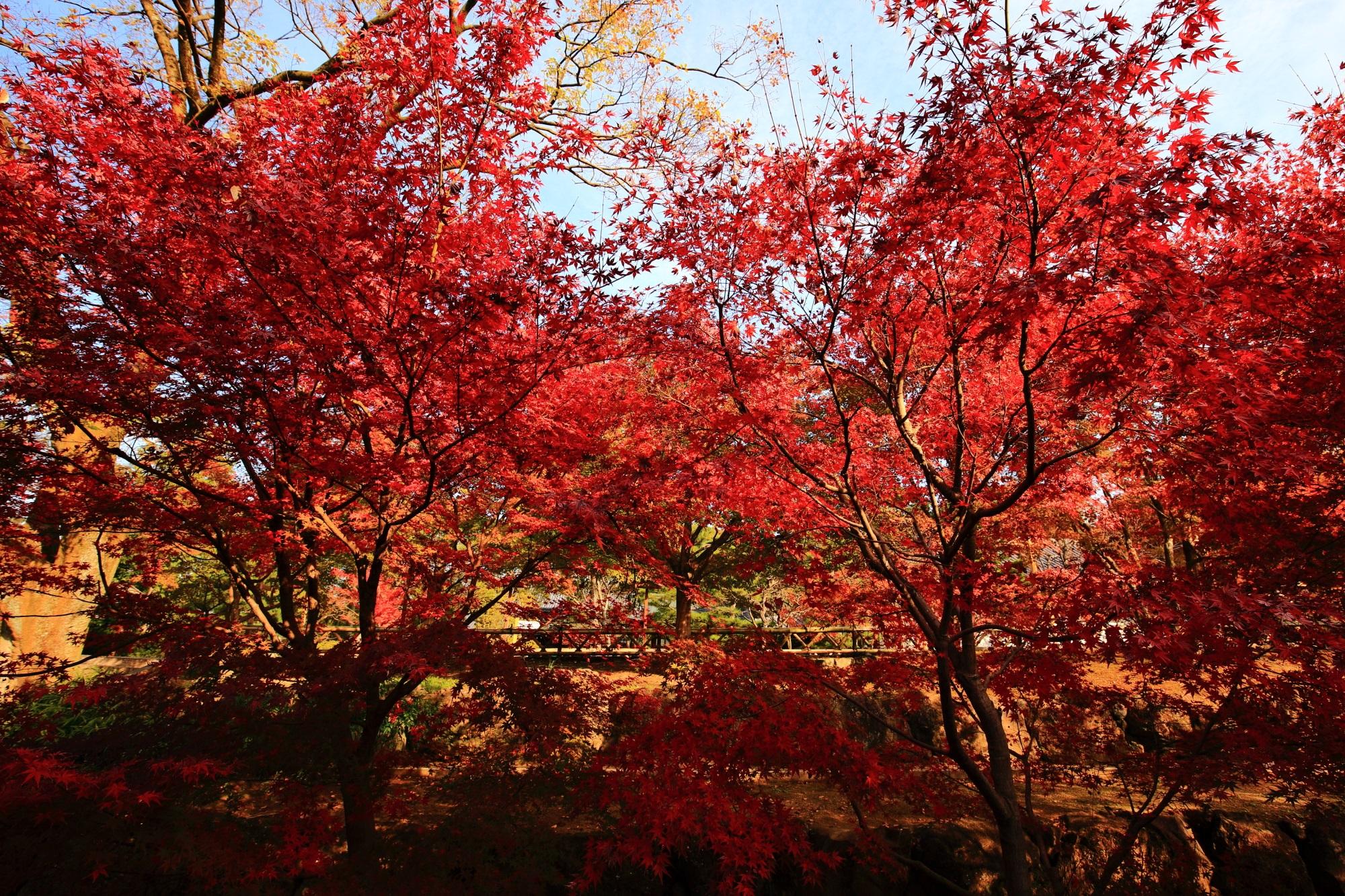 炎のような紅葉につつまれる秋の智積院