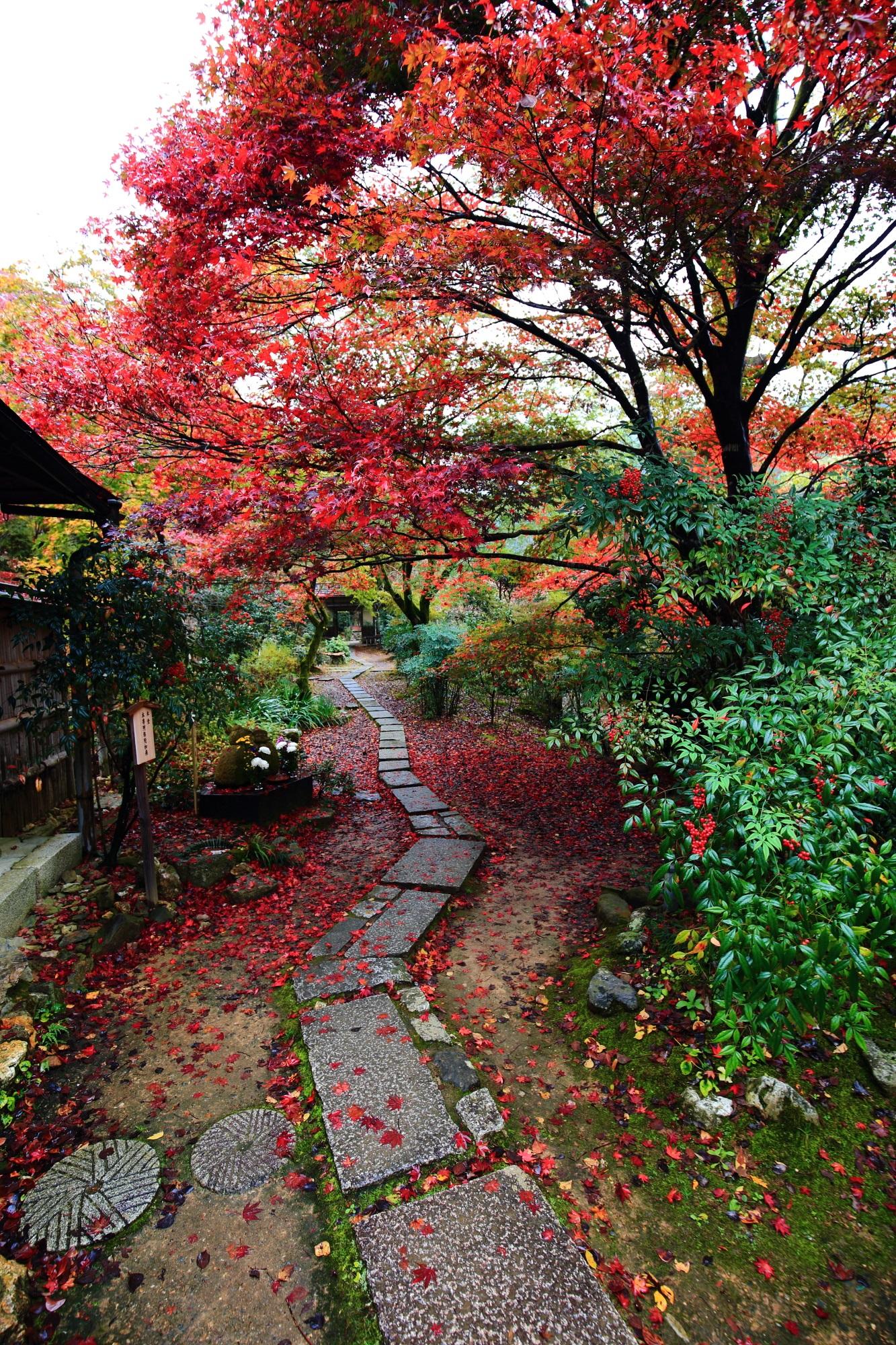 嵯峨直指庵の本堂前の雨に濡れた美しい紅葉と散りもみじ