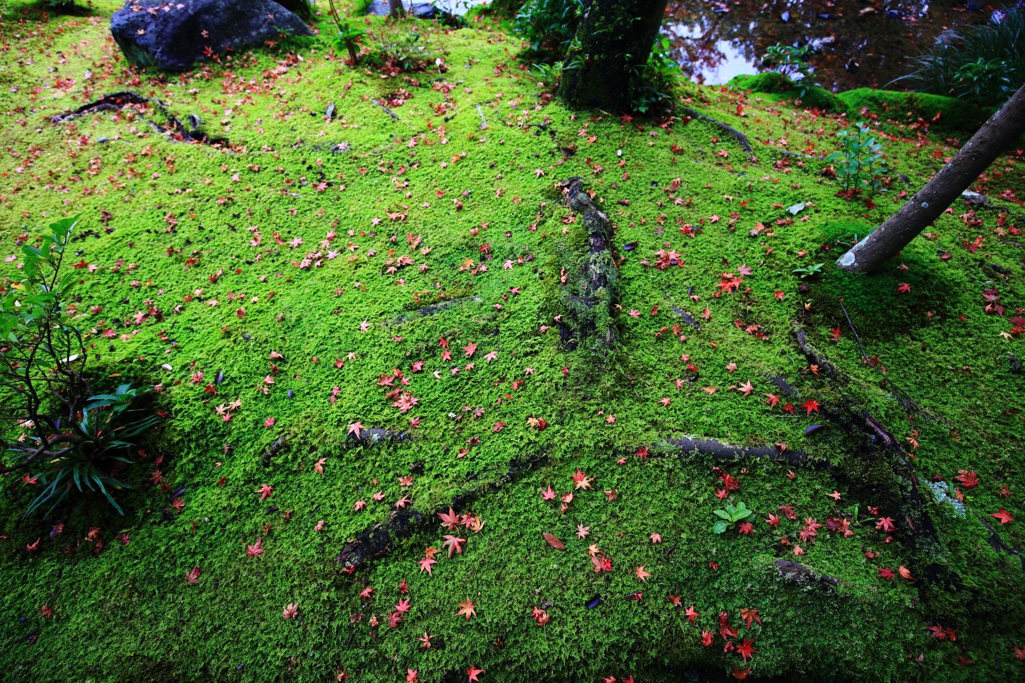 無鄰菴の鮮やかで輝くような緑の苔を染める上品な散りもみじ