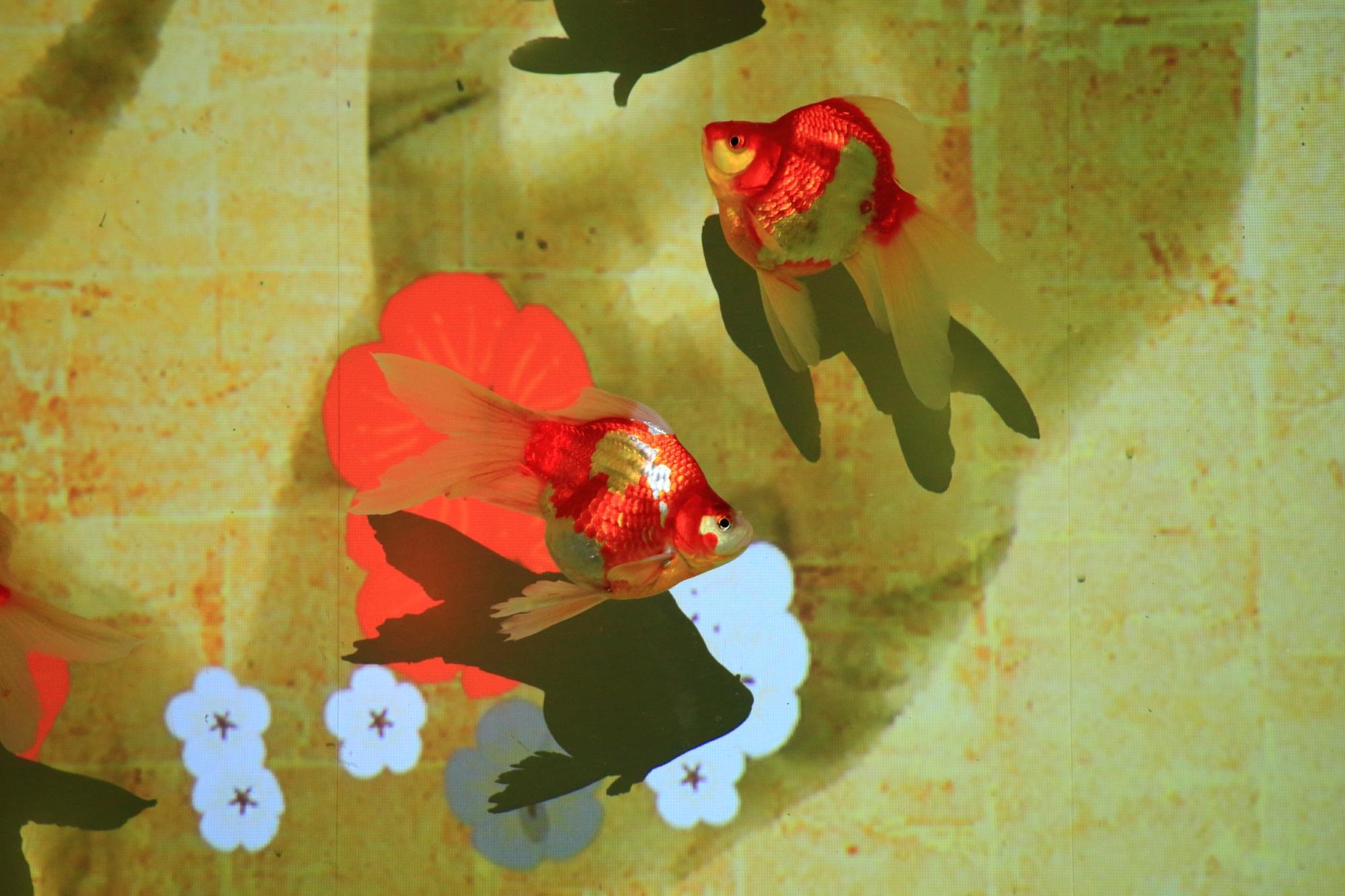 アートアクアリウム城のリンパリウムの金魚