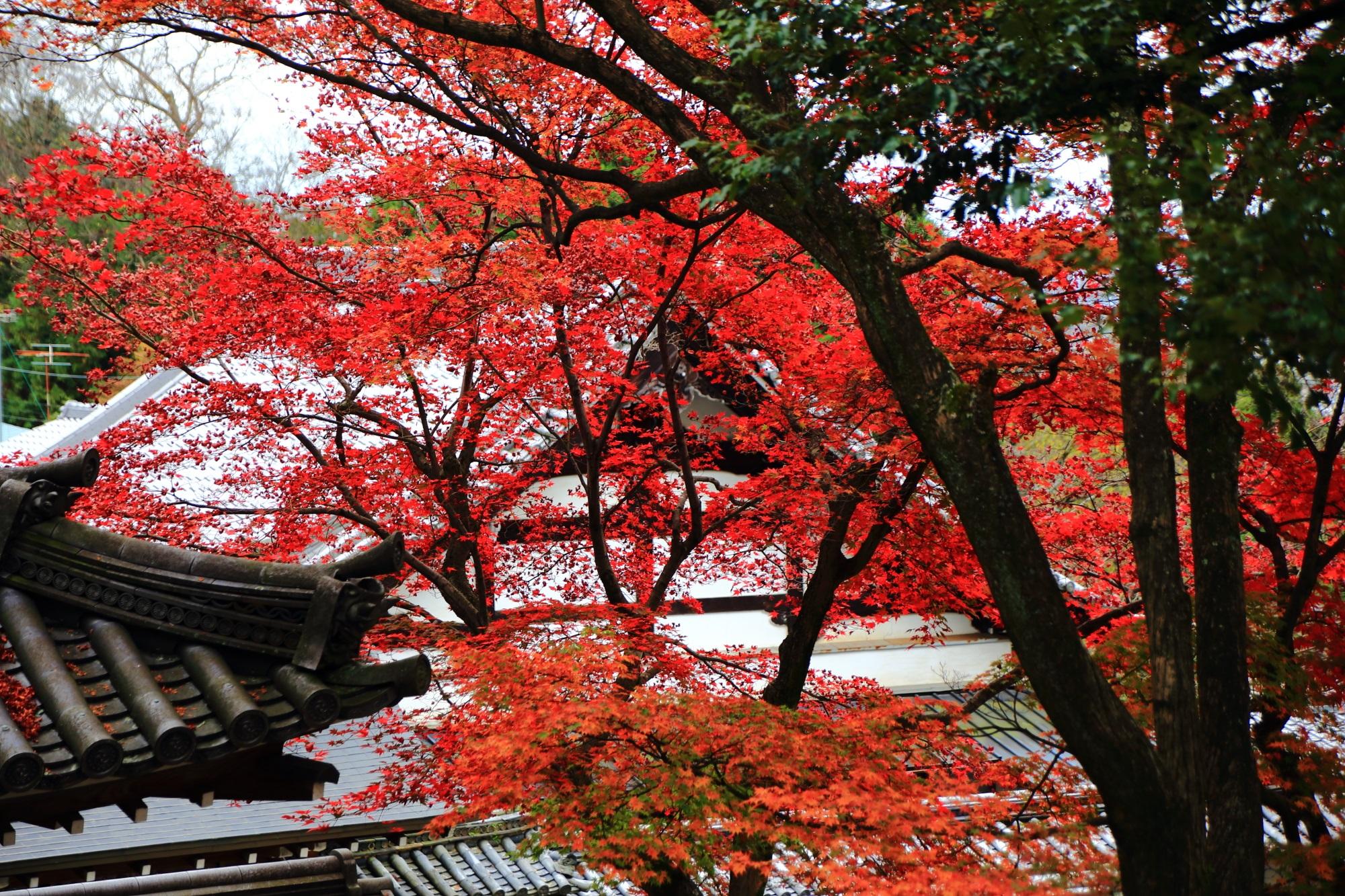 知恩院境内を秋色に染める繊細で鮮やかな紅葉
