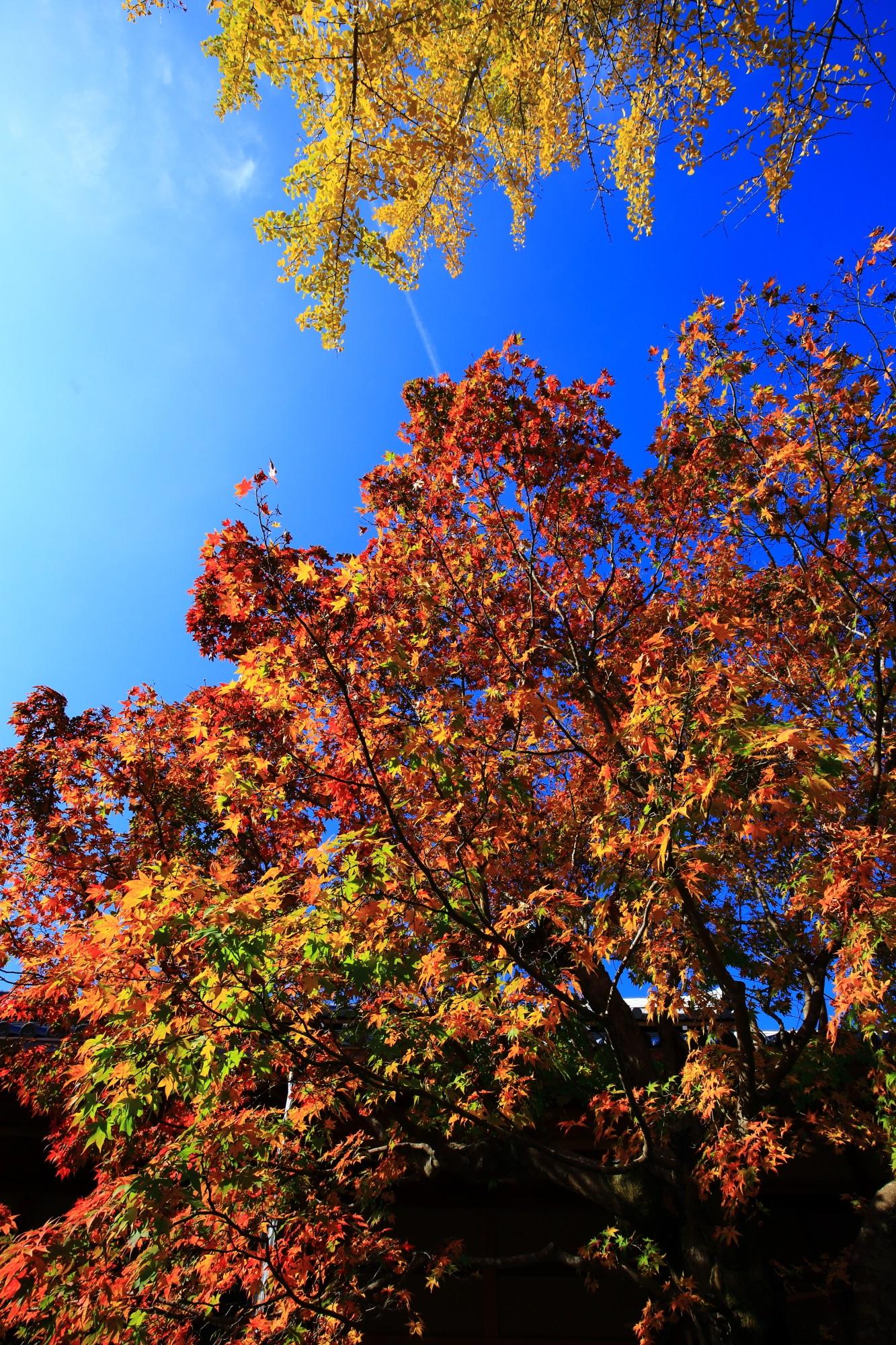 常寂光寺の本堂前の見ごろの紅葉と銀杏