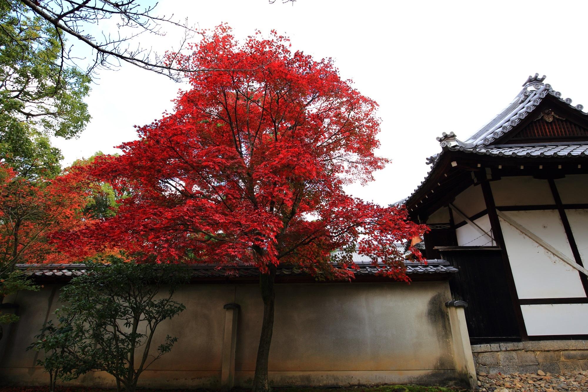 廬山寺の参道の源氏庭からも見える鮮やかな紅葉