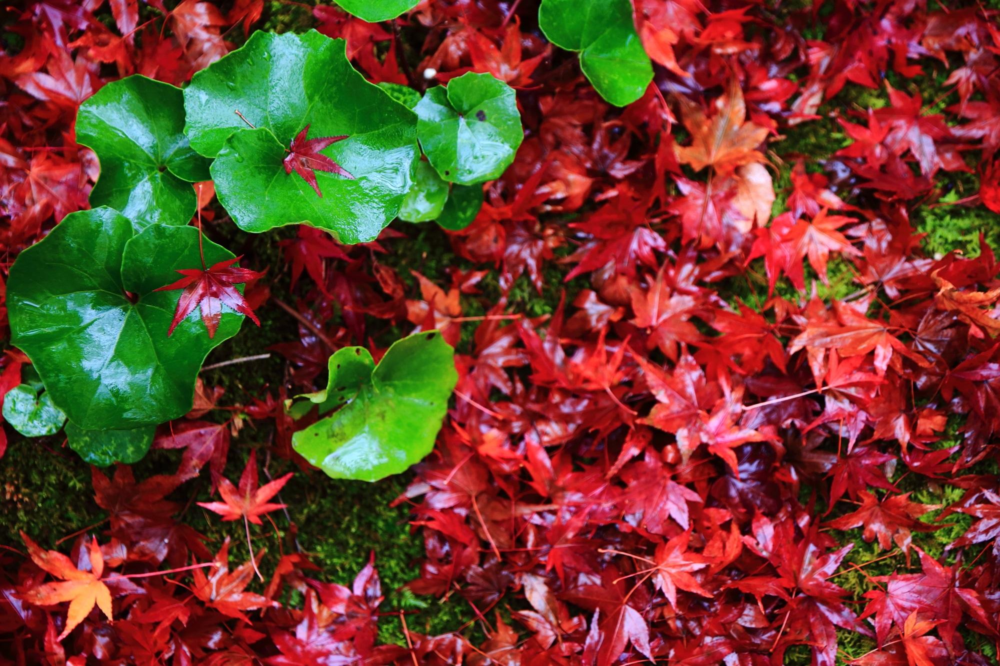 直指庵の緑の葵と赤い散りもみじ